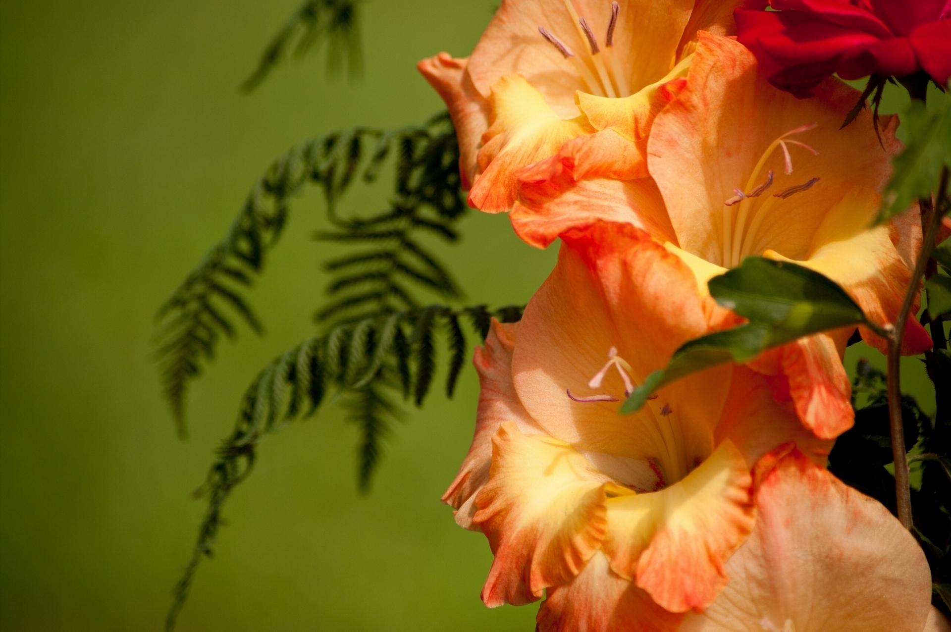 Цветы гладиолусы картинки на рабочий стол