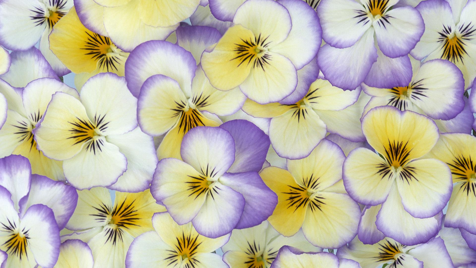 картинки на рабочий стол цветы фиалки