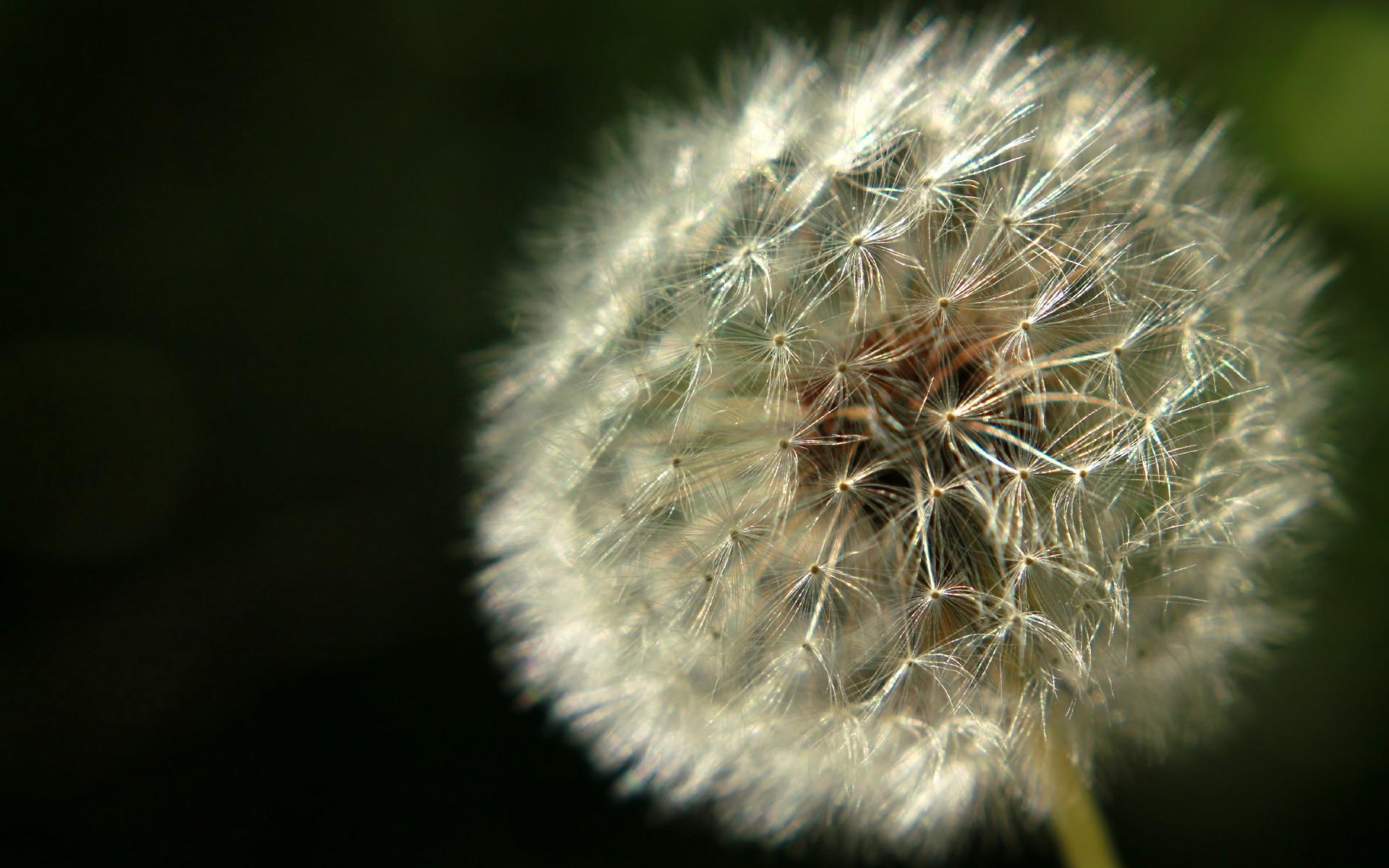 растения похожие на одуванчики фото представляем материал собственного