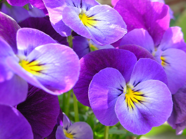 этом цветы фиалки фото красивые каждую