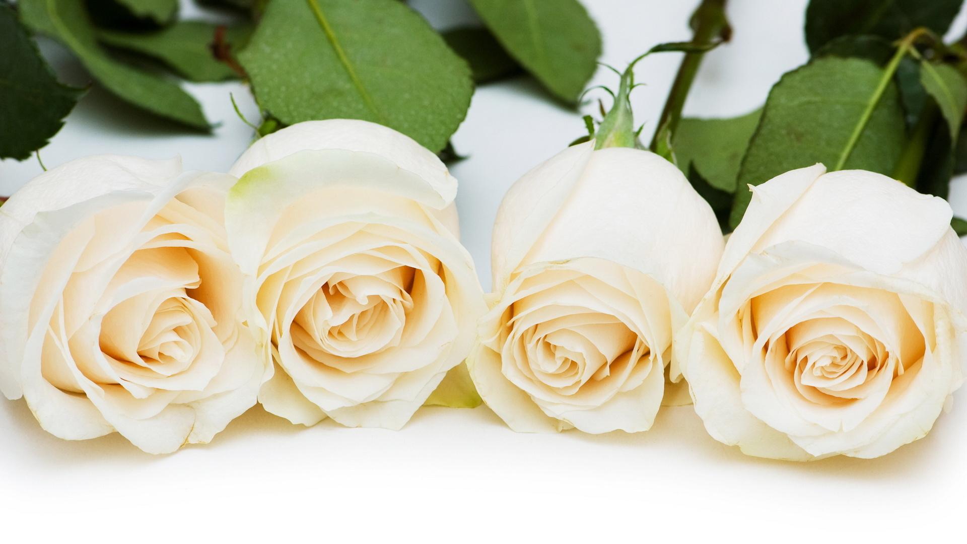 замка картинка для белая роза рабочего стола цветок