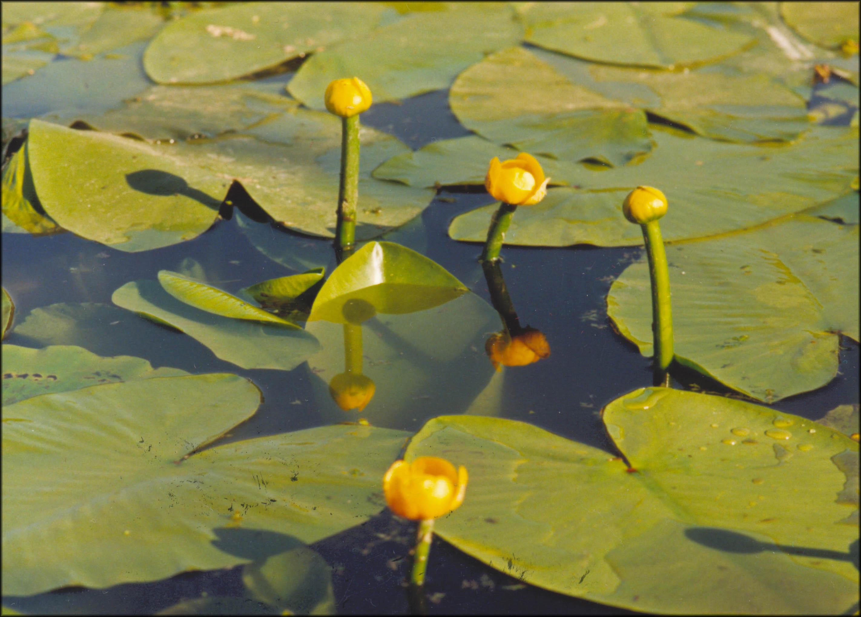 постарайтесь писать картинки речное растение кубышка про славный