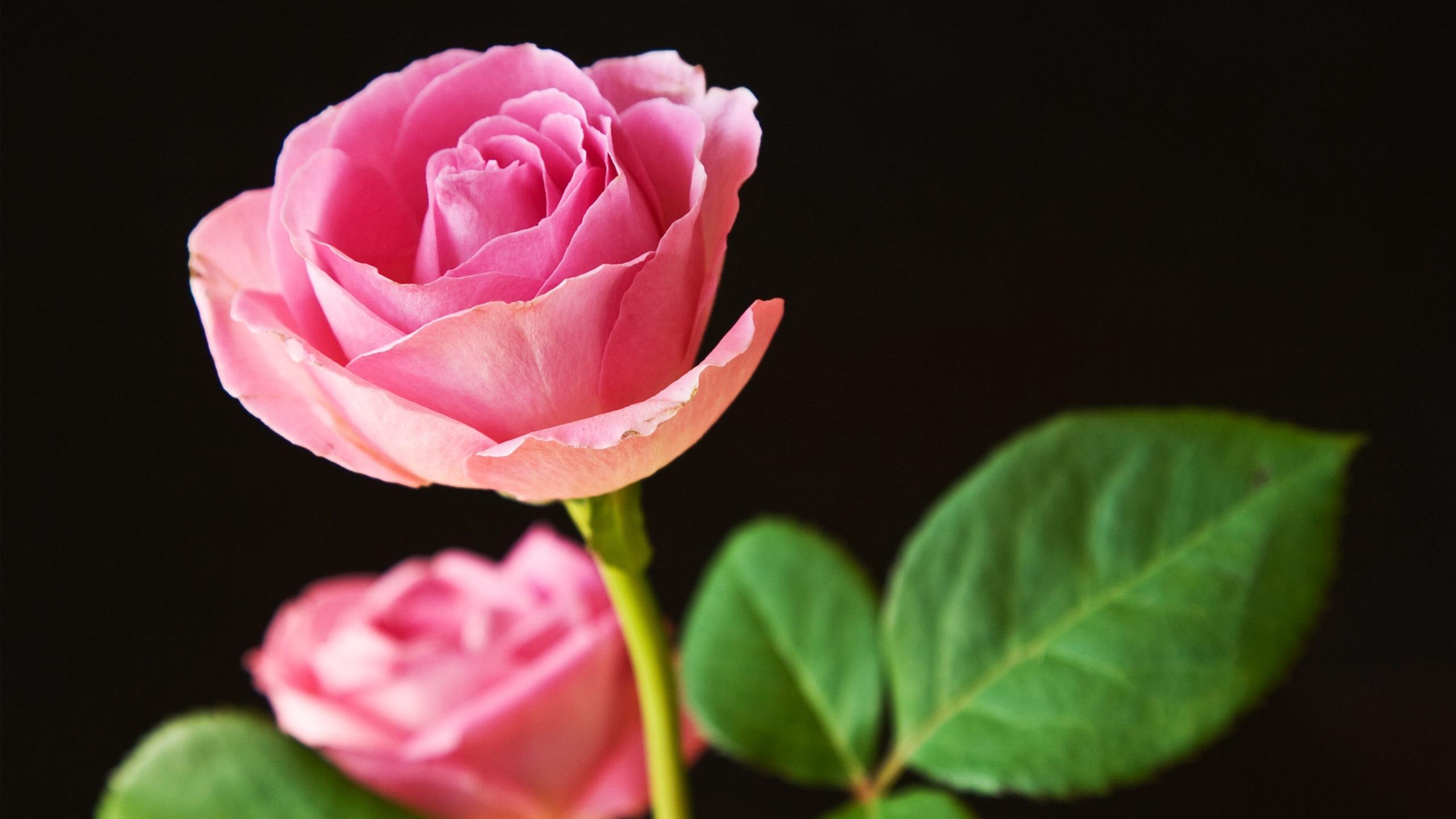 Desktop wallpaper flowers rose