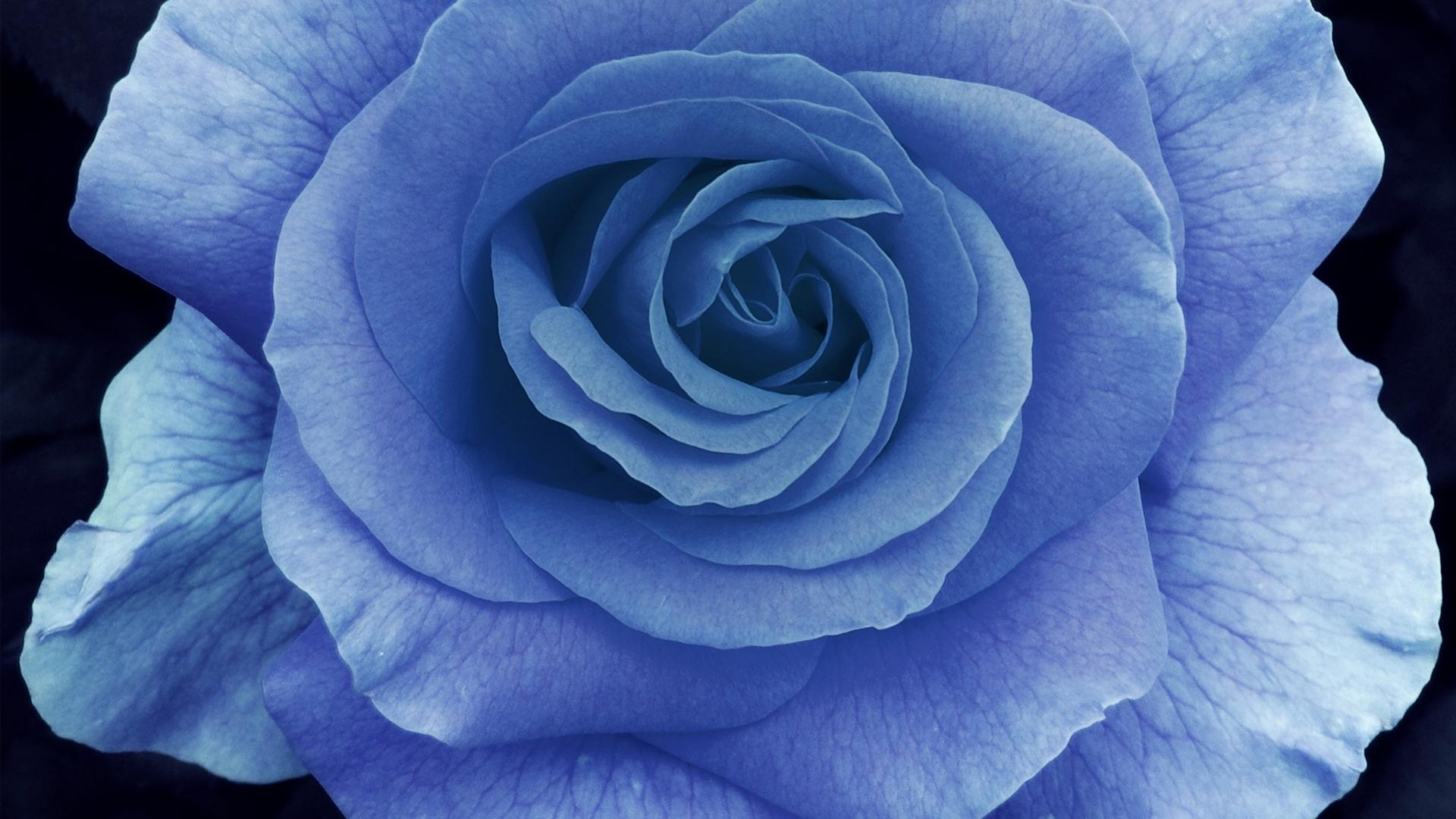 Pics Photos - Blue Ros...
