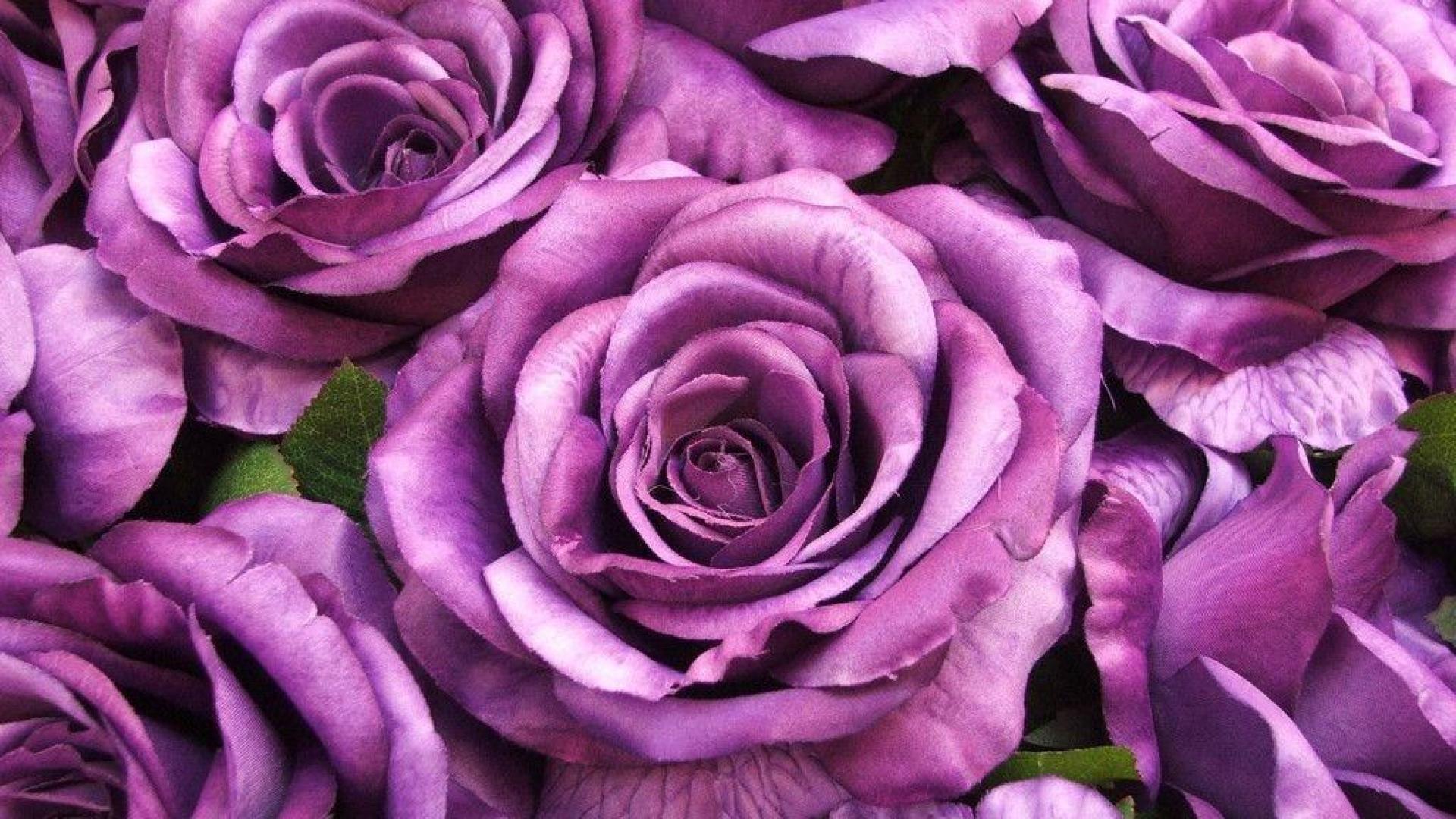 Картинки по запросу троянди фіолетові