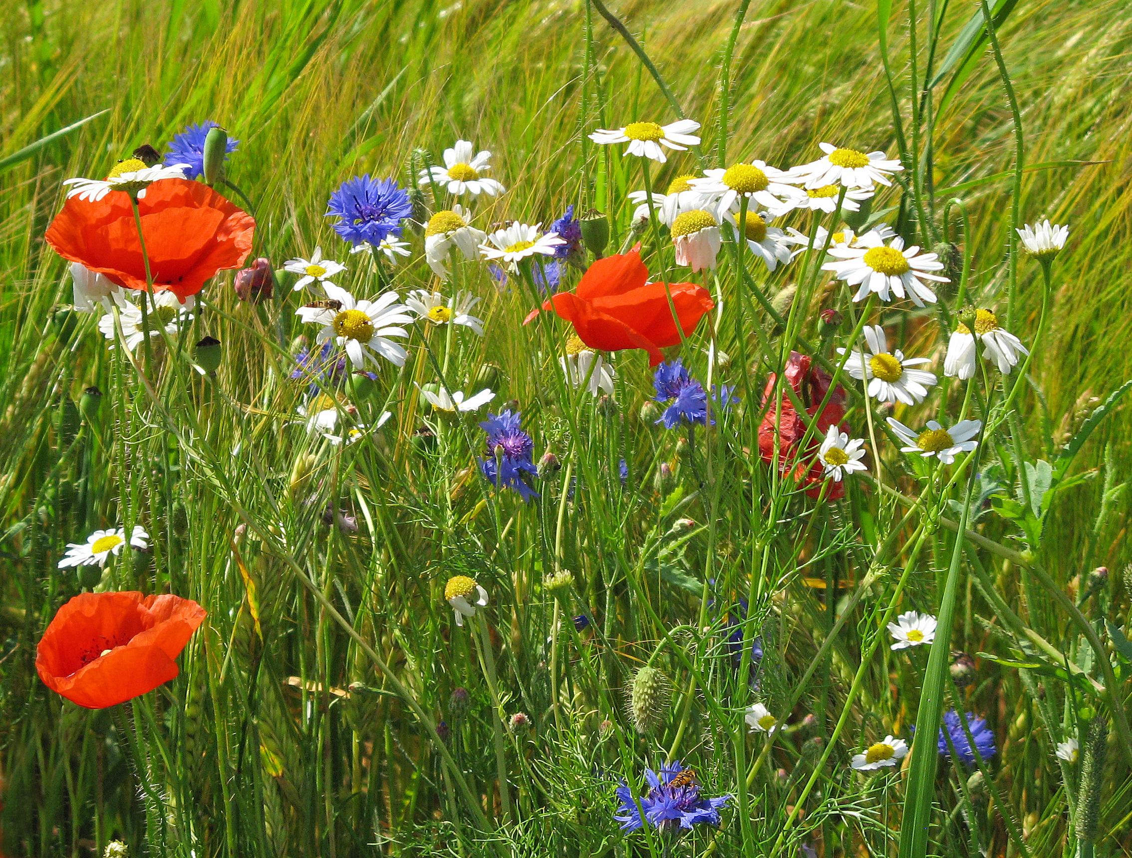 фото картинки полевые цветы летом сообщала, что девочка