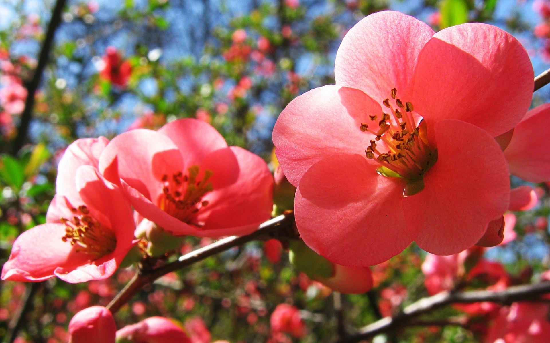 Секс цветы вишни 6 фотография