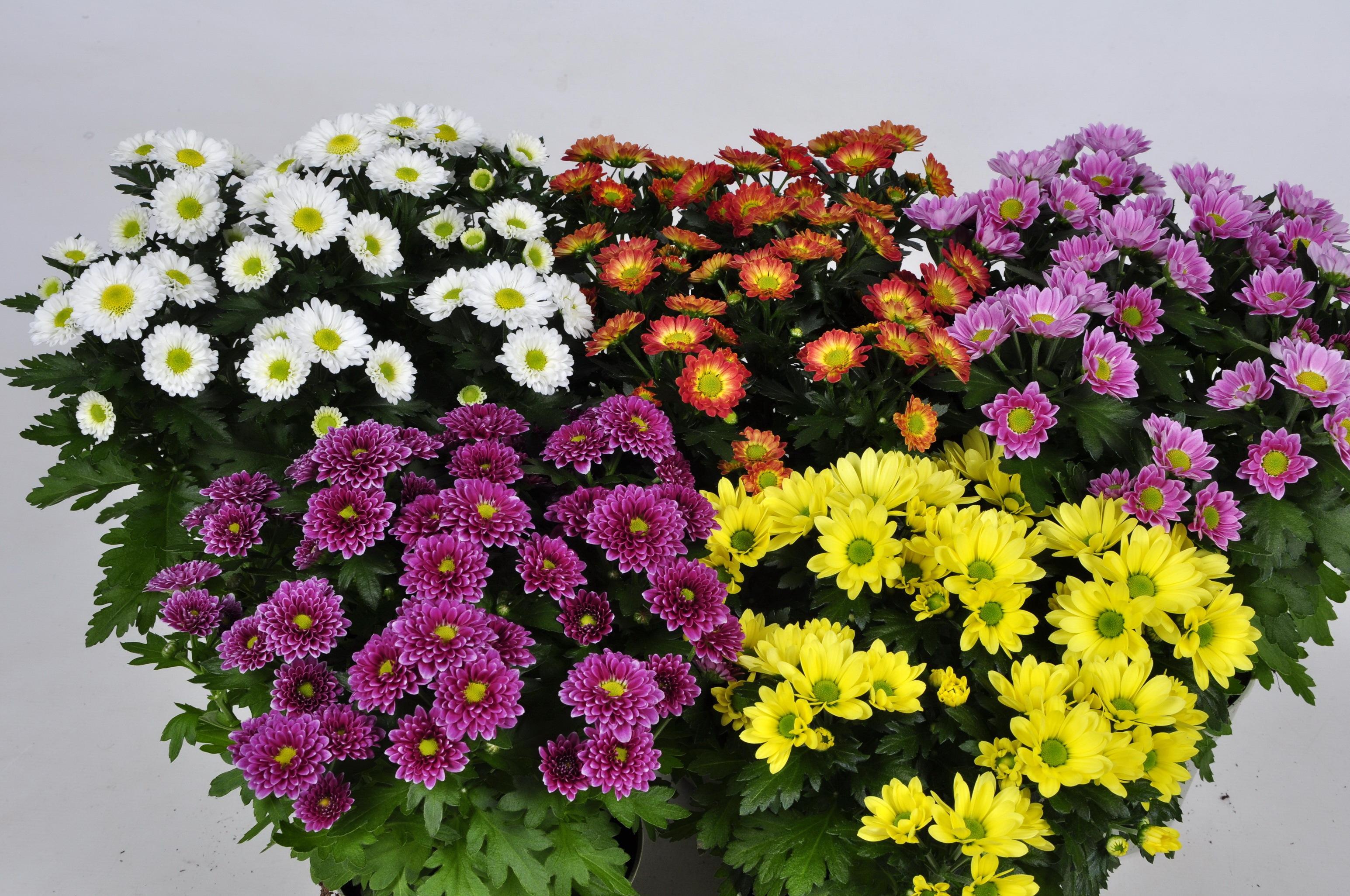 все виды хризантем фото изготовления