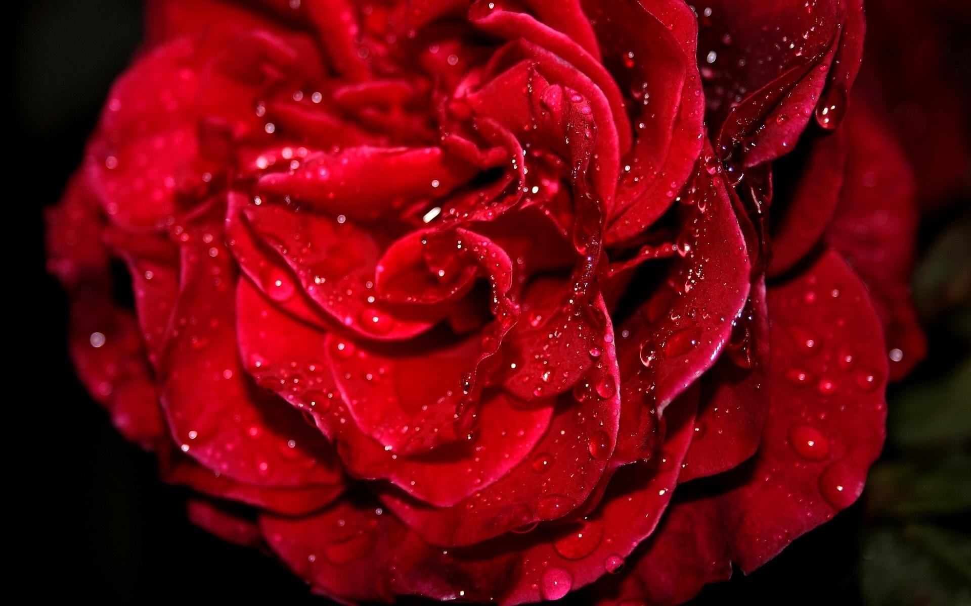Картинки на рабочий стол розы алые