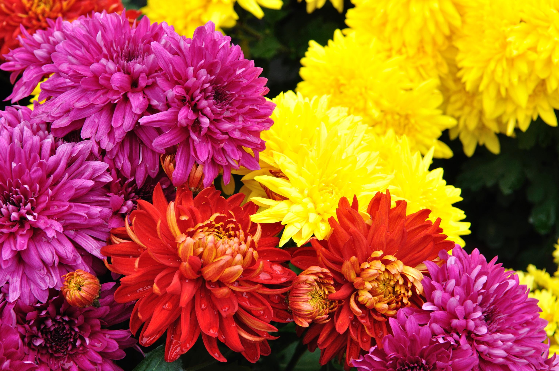Для, красивые открытки цветы хризантемы
