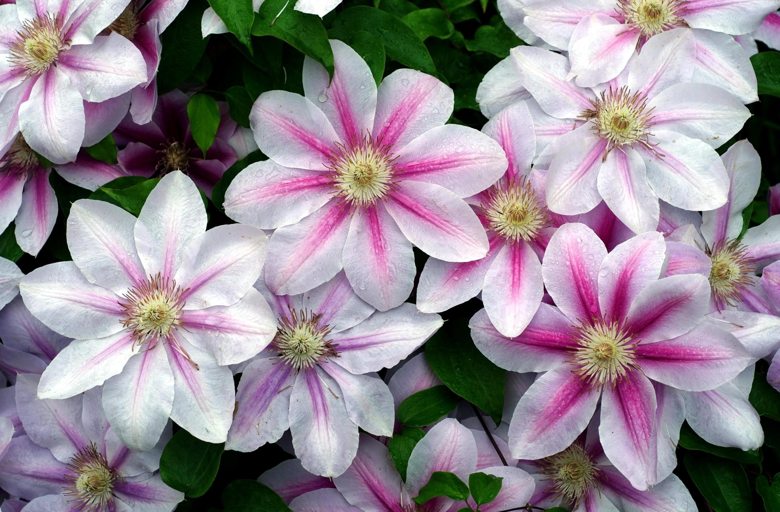 Garden Design Garden Design with Garden flowers of clematis on