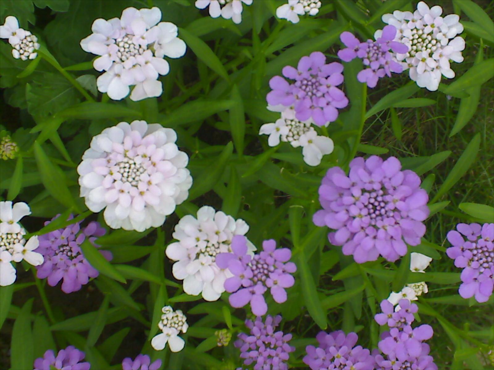 фото цветок иберис
