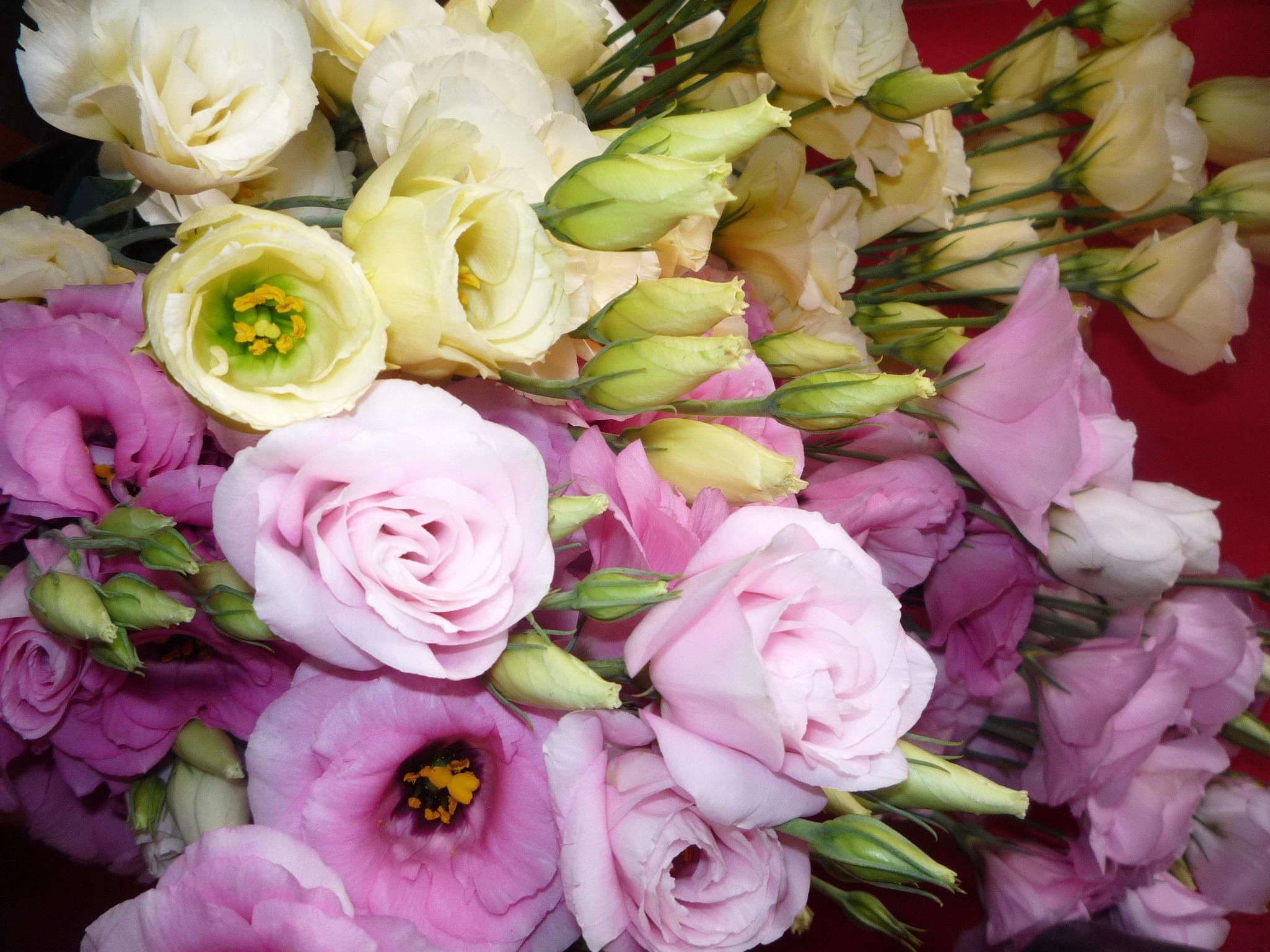 http://www.zastavki.com/pictures/originals/2014/Nature___Flowers_In_the_garden_of_beautiful_flowers_Eustoma_(Irish_Rose)_067312_.jpg