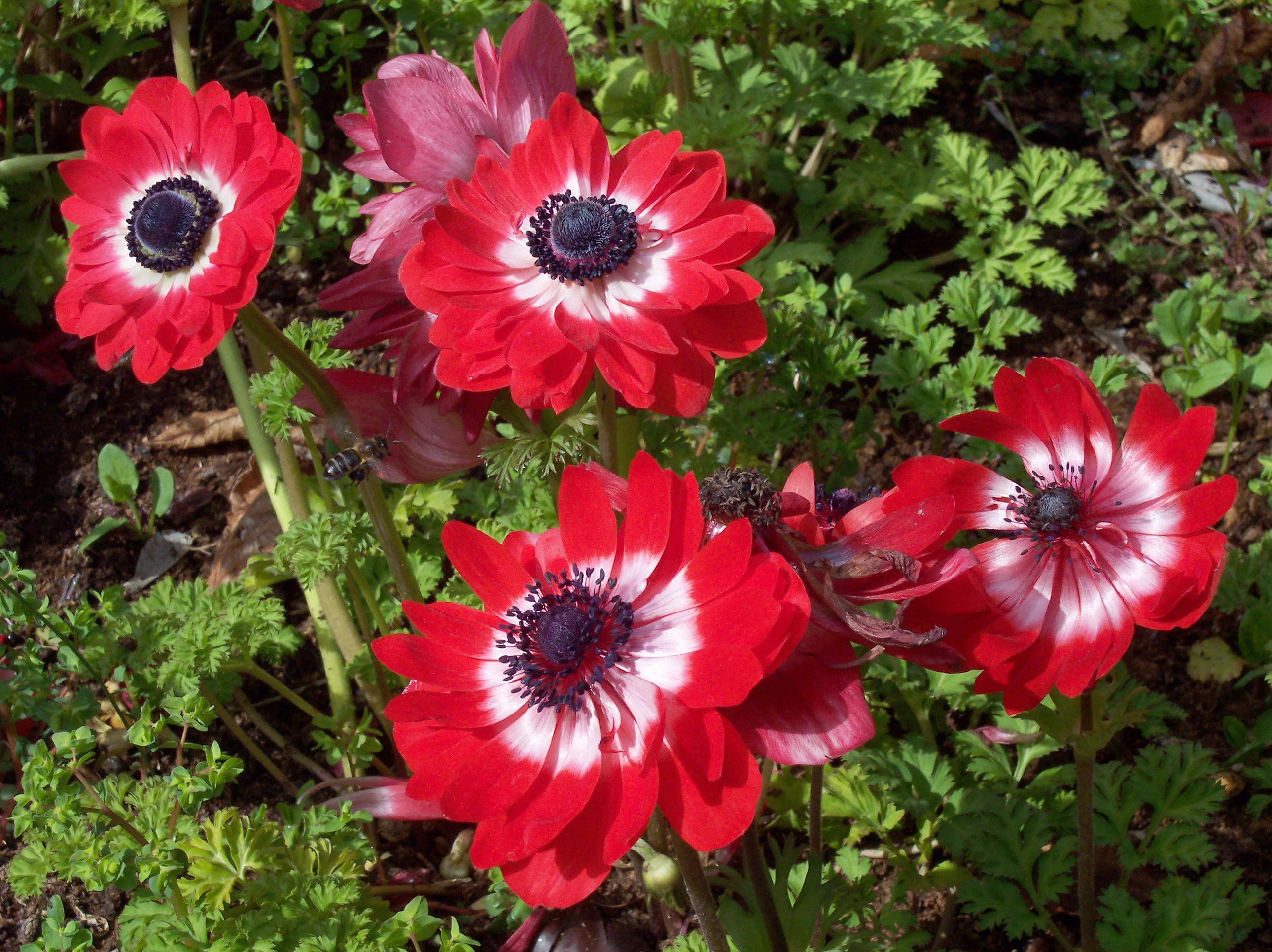 In the garden of beautiful flowers anemone wallpapers and images in the garden of beautiful flowers anemone wallpapers and images wallpapers pictures photos izmirmasajfo