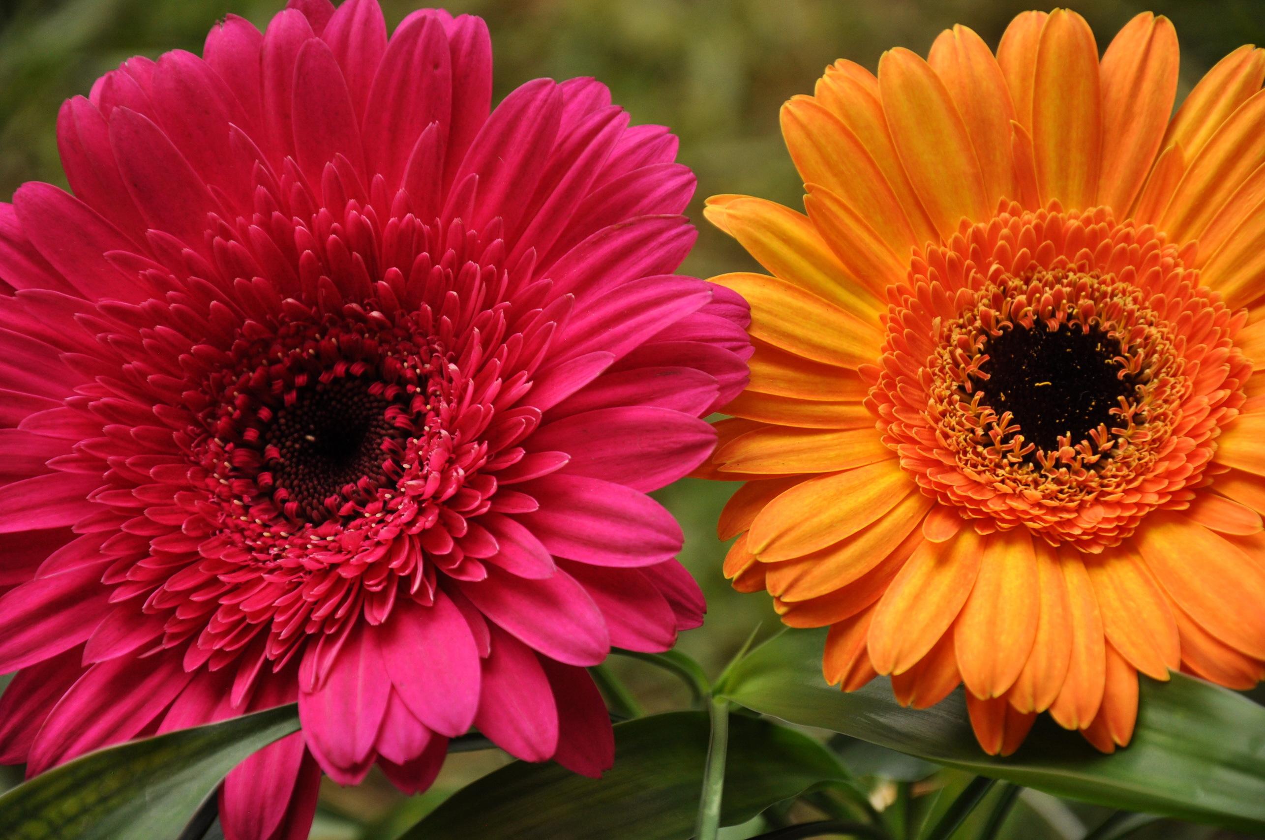 Цветы герберы картинки обои