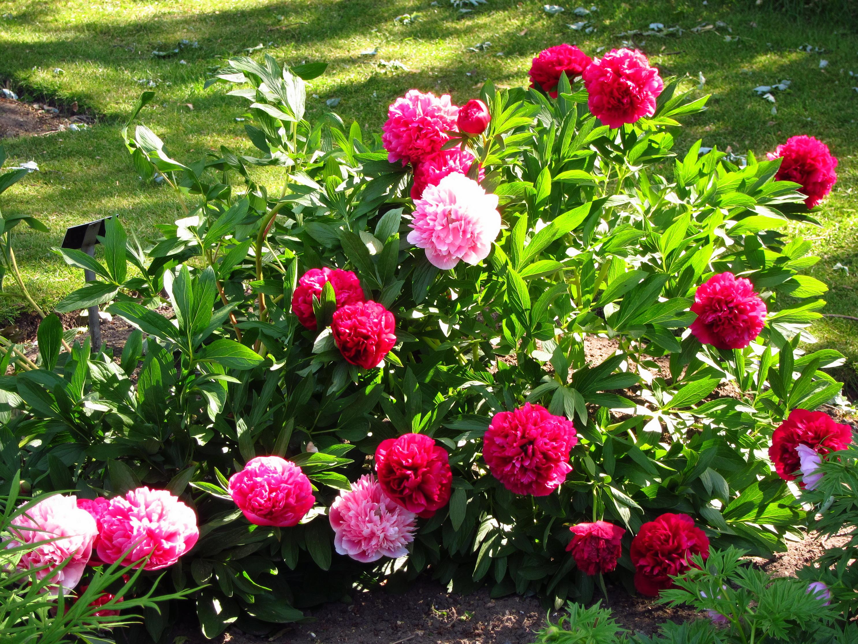 In the garden of beautiful flowers peonies wallpapers and for Beautiful flower garden pictures
