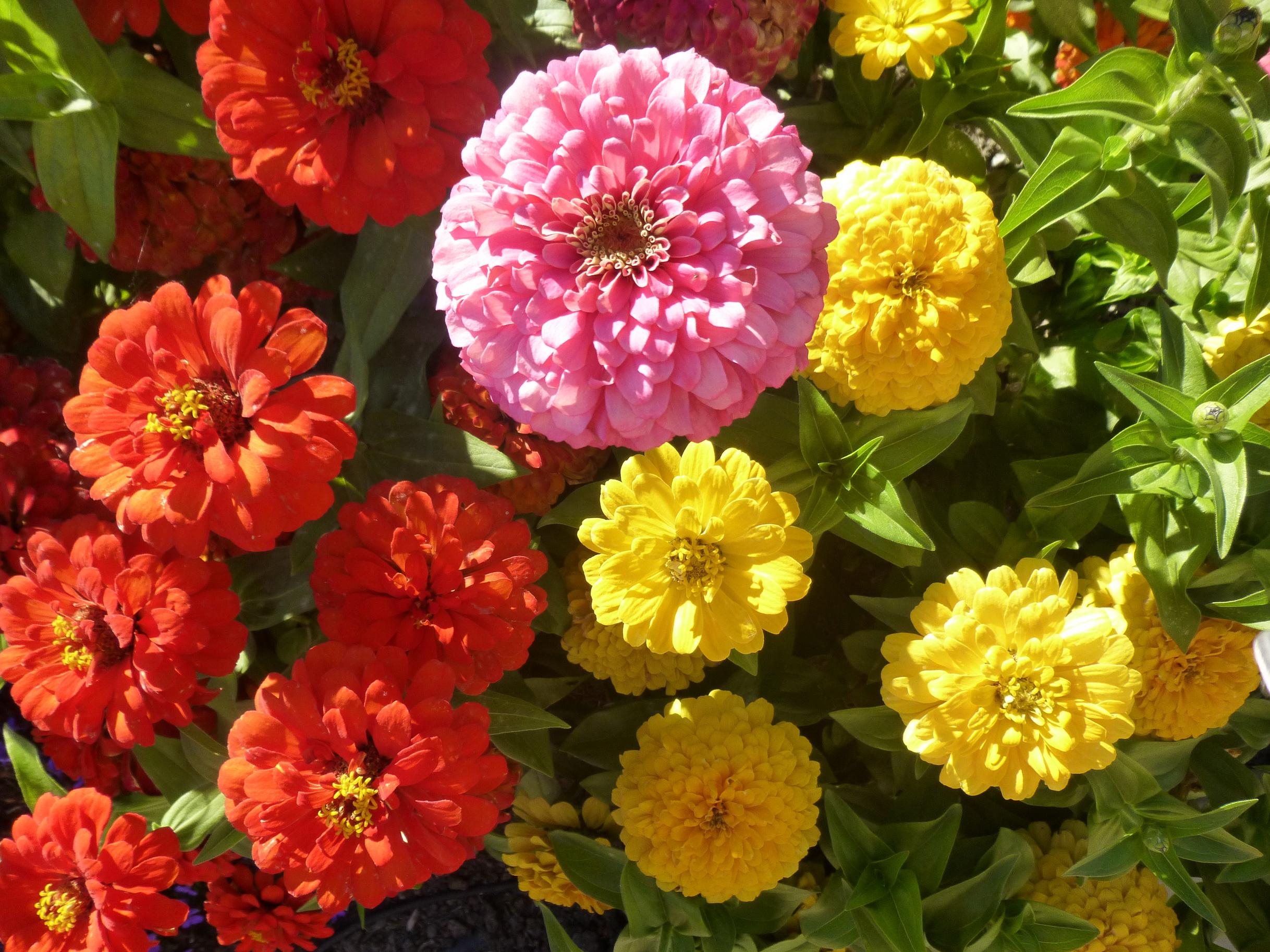 майоры цветы фото название крючком
