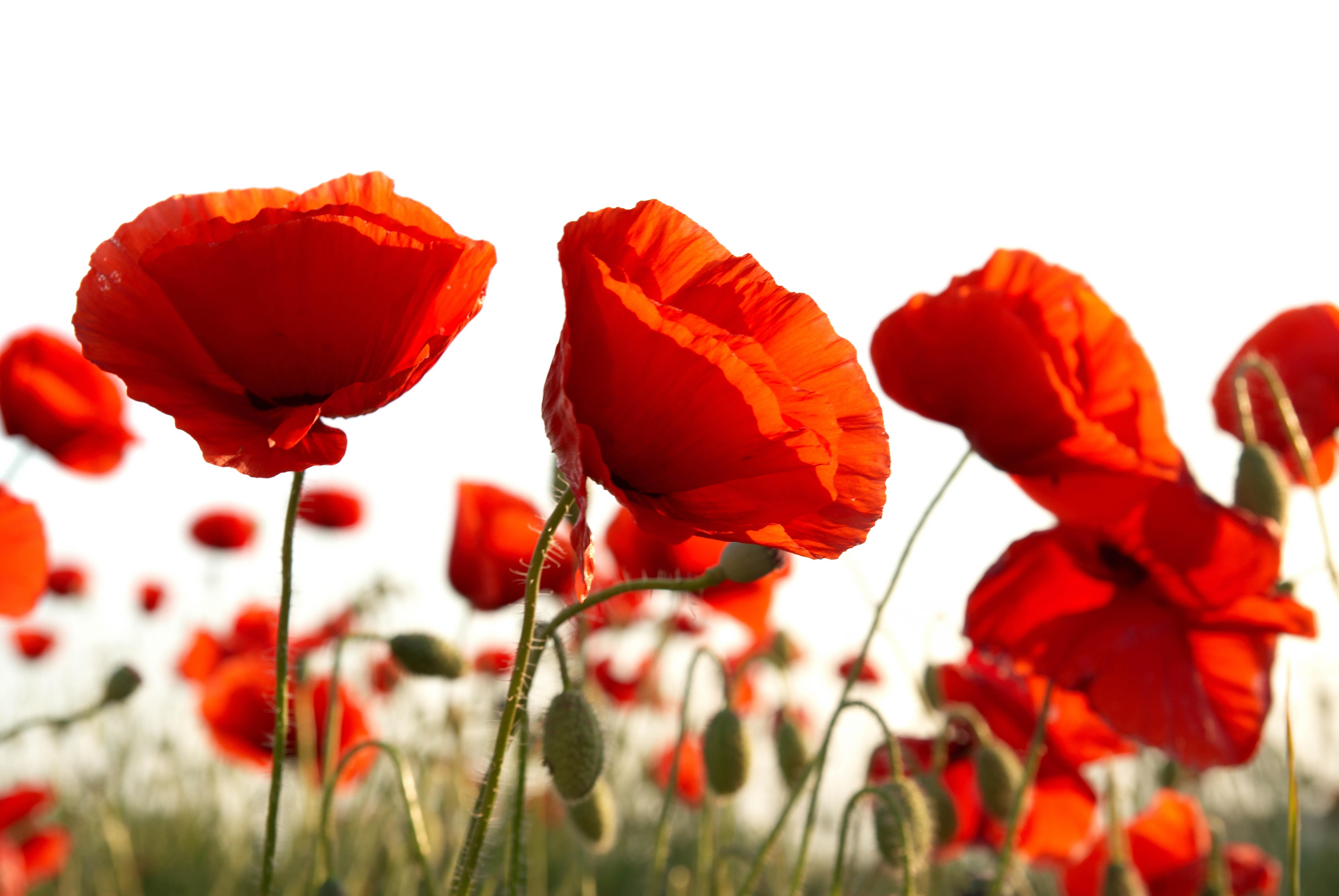 Картинки цветы красные маки, своими