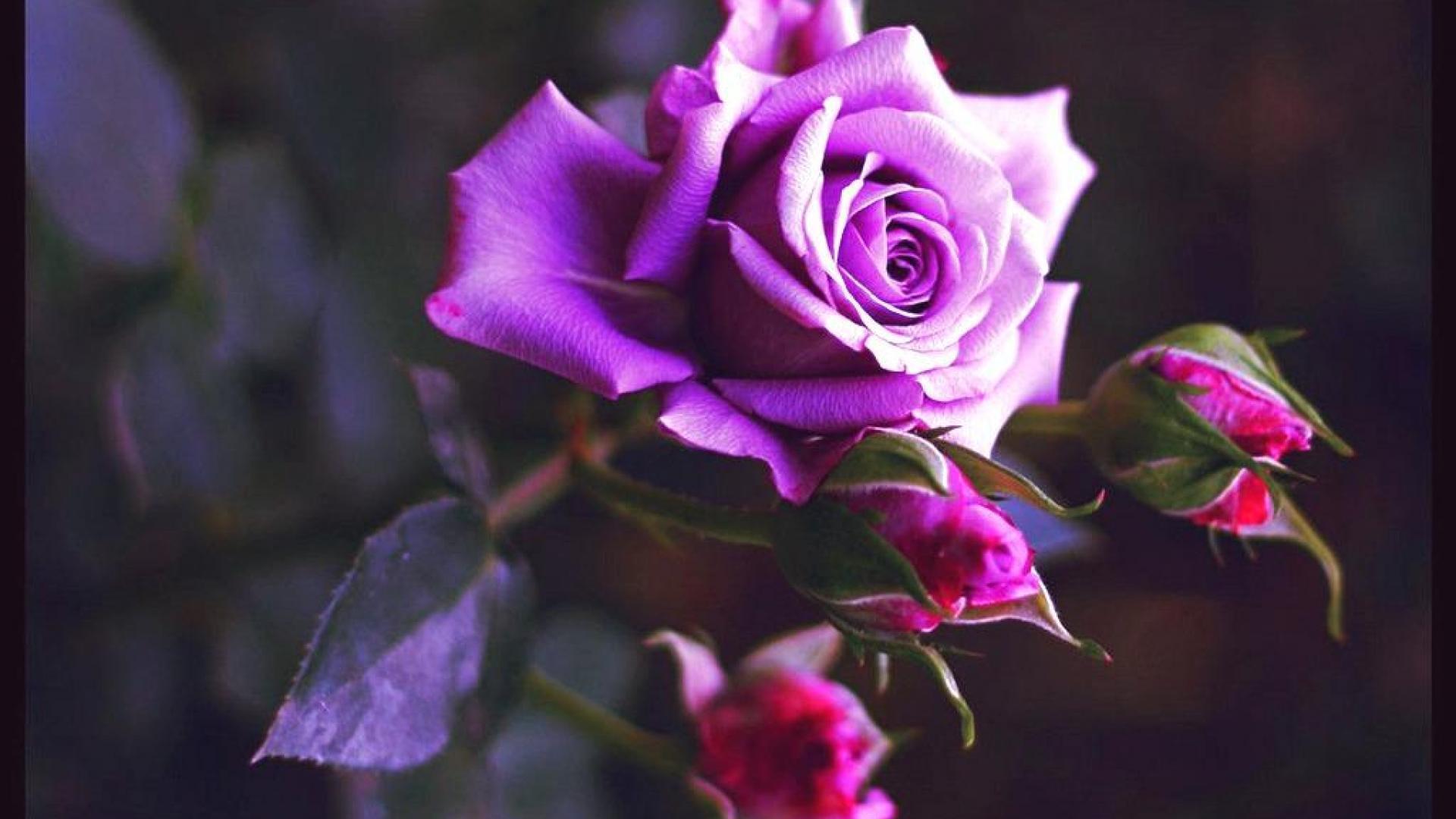 http://www.zastavki.com/pictures/originals/2014/Nature___Flowers_Purple_rose_blossomed_055835_.jpg