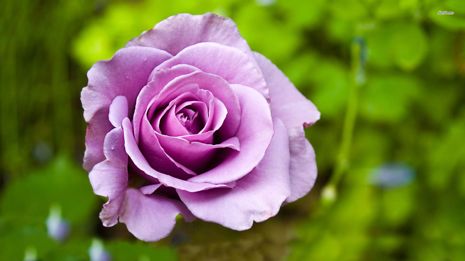 Картинки цветы фиолетовые розы