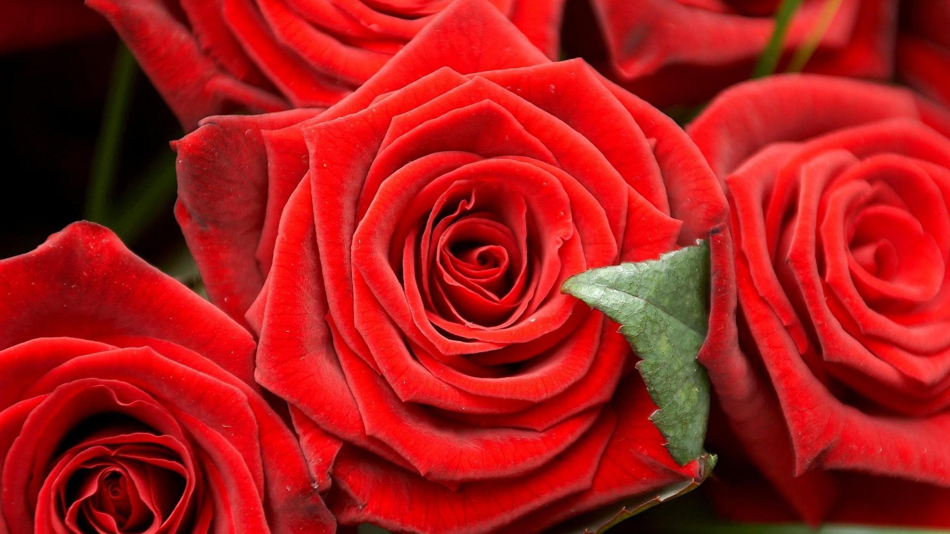 Картинки роз на рабочий стол красивые, живая