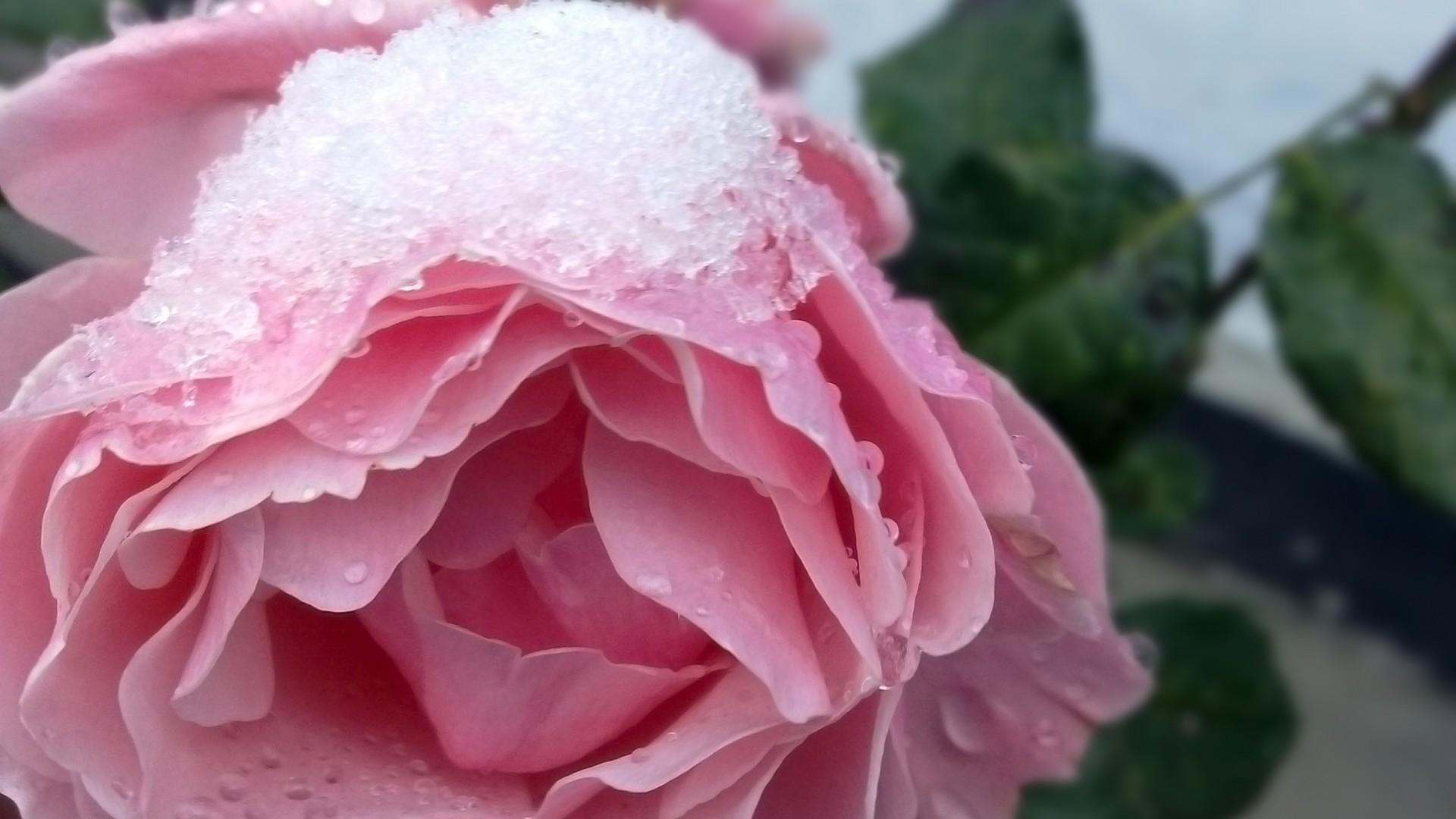 чём думаешь, розовые розы на снегу фото вами подробности свадебного