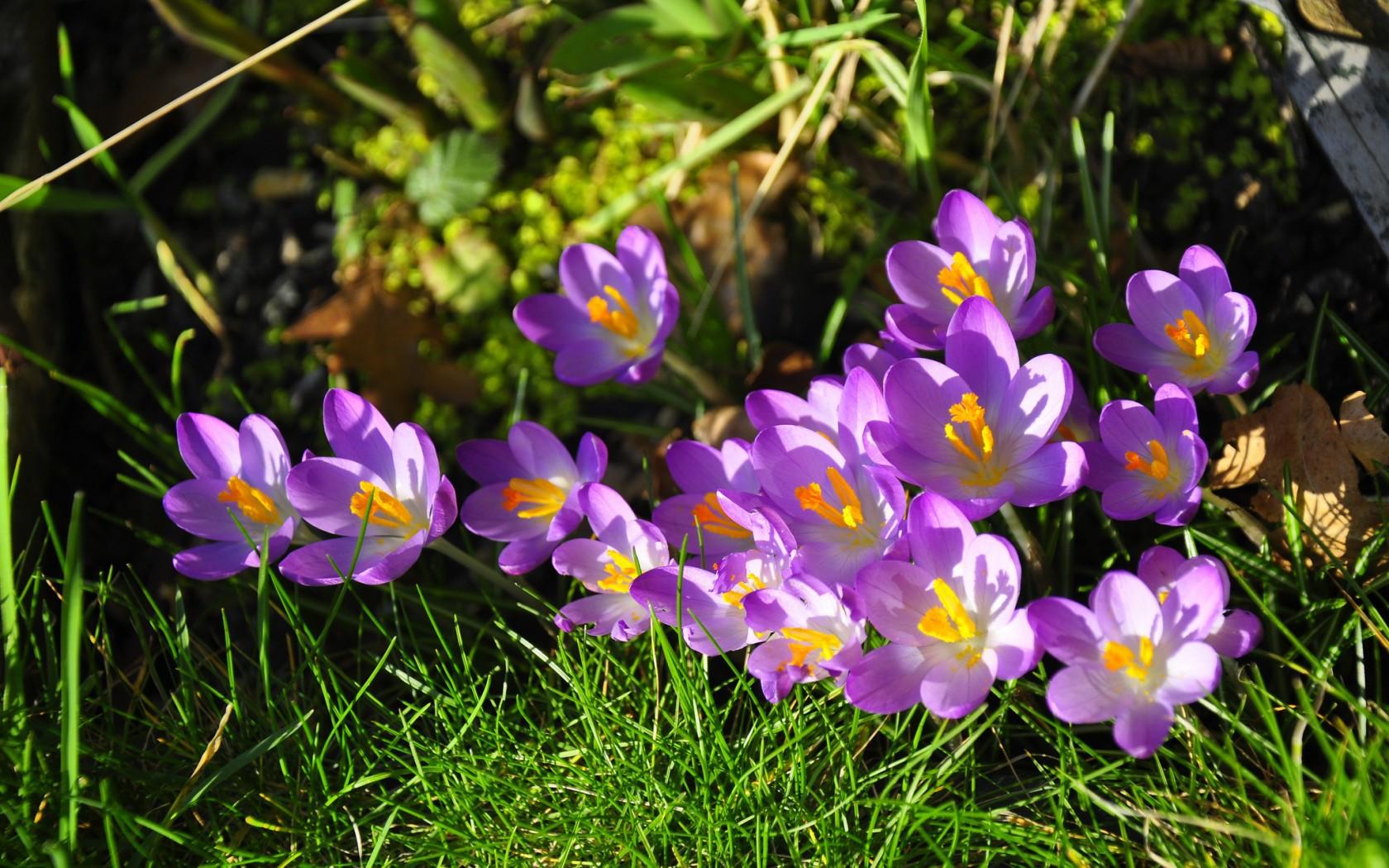 Spring Flowers In The Garden Saffron