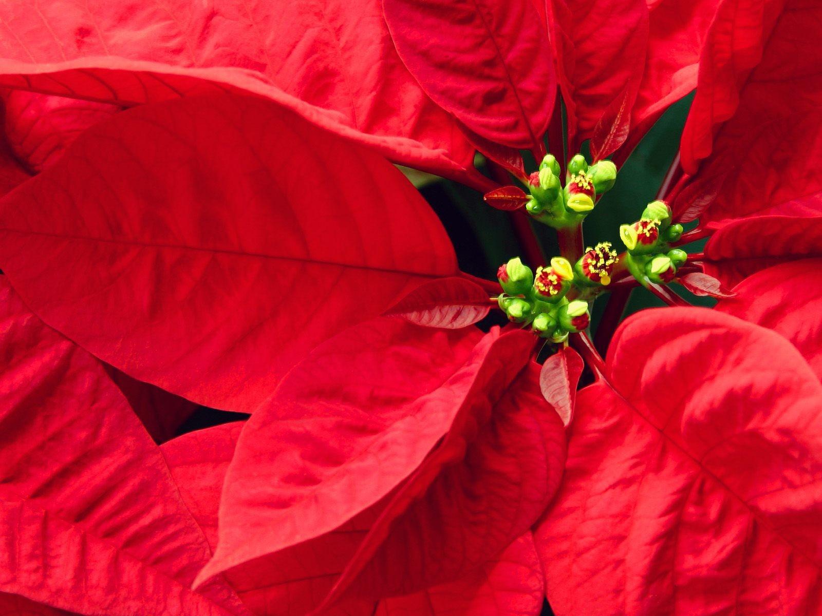 Цветок красными листьями фото
