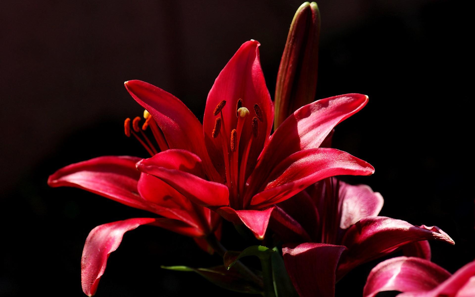 фото красный цветок на черном фоне позволит наиболее