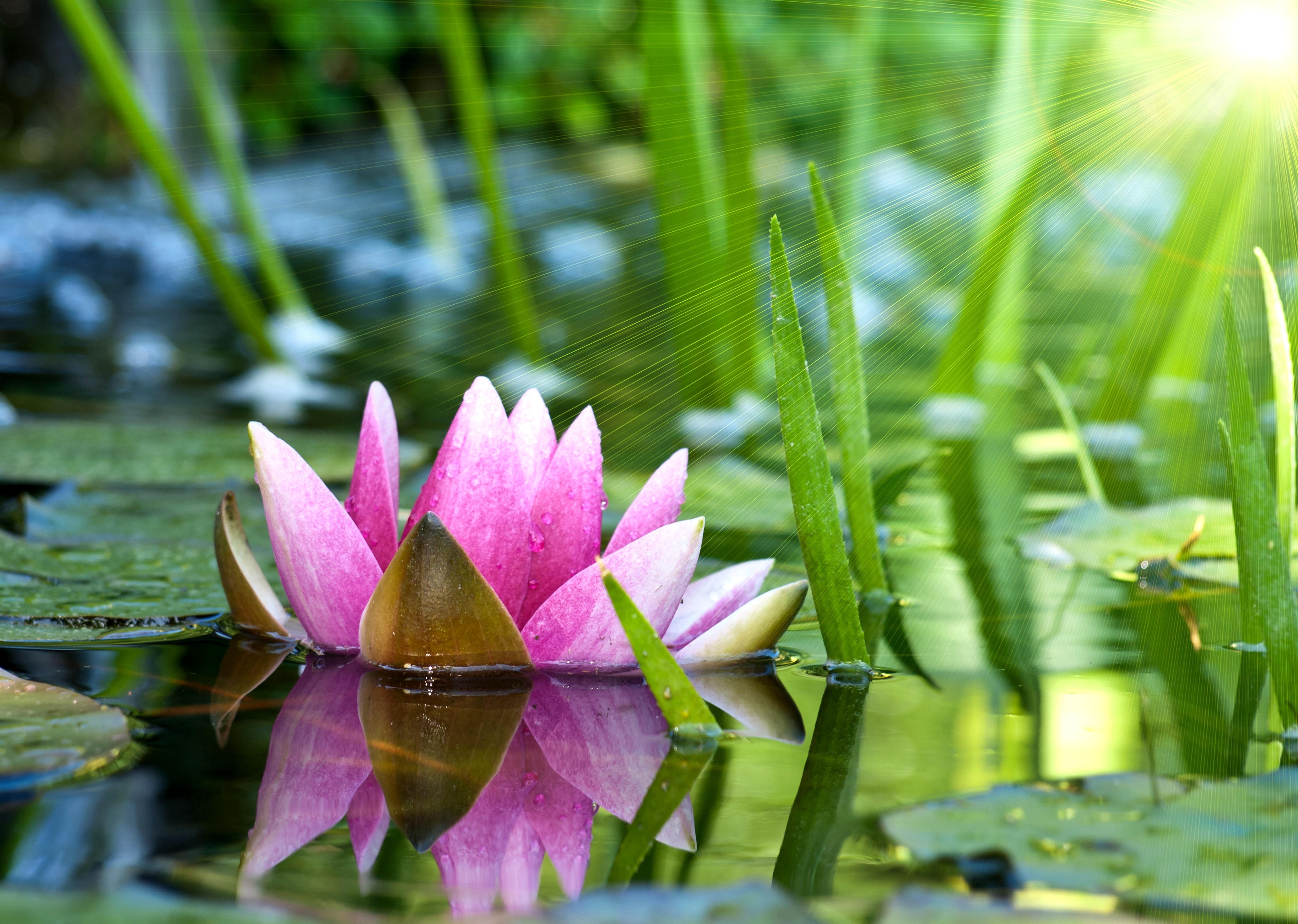 Лямура, цветок лотоса открытка