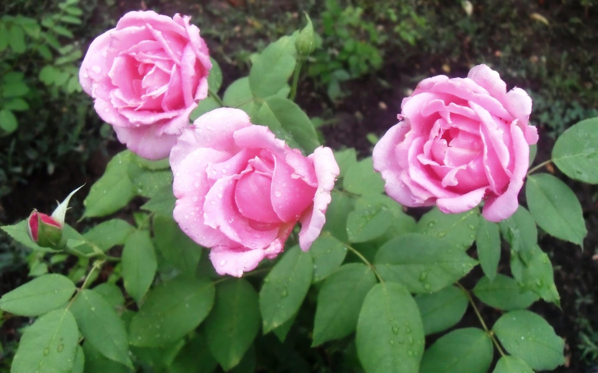 обои для рабочего стола пионы розы № 422843 без смс