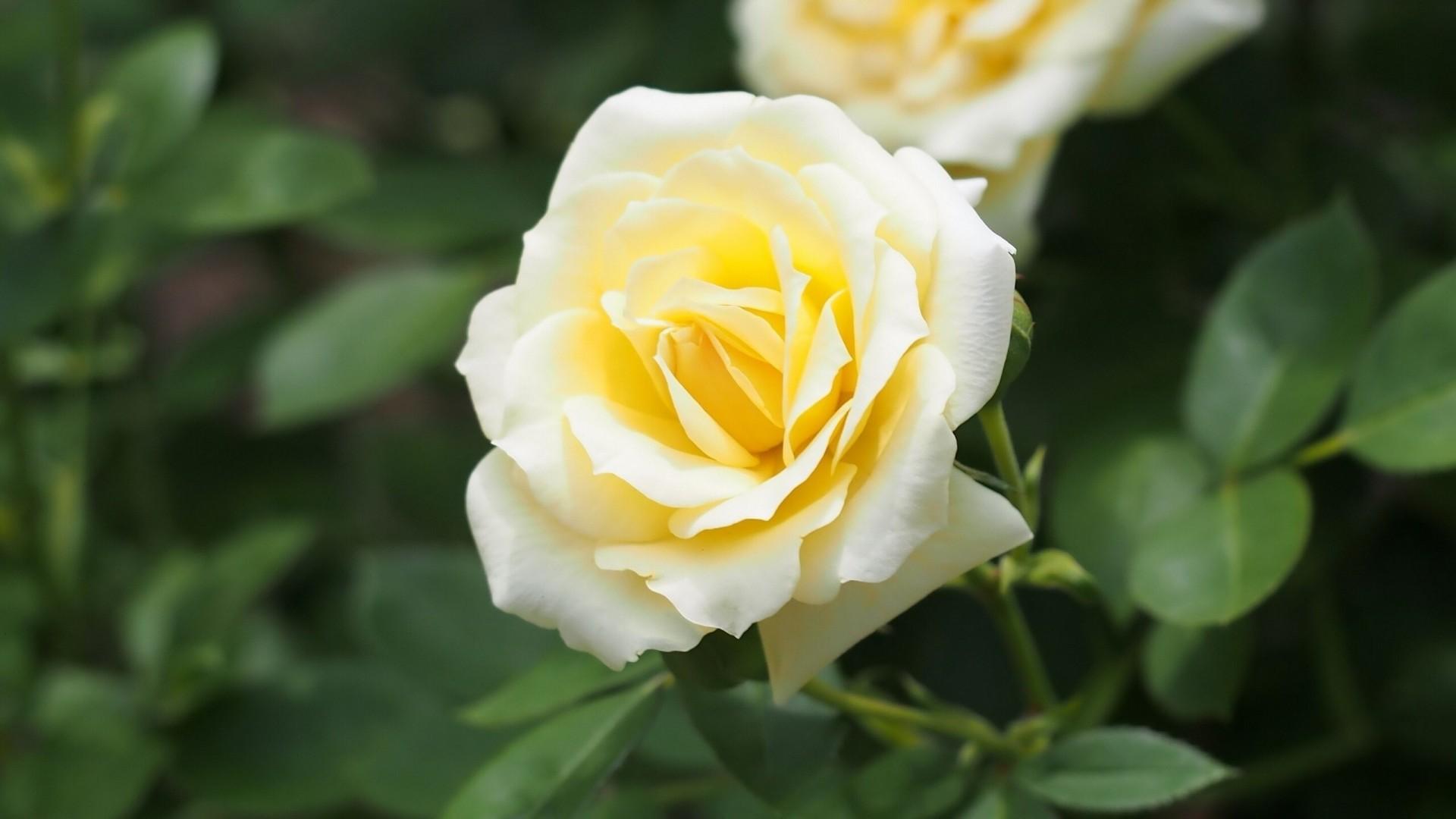 White Rose Flower Garden Wallpaper White Roses in The Garden