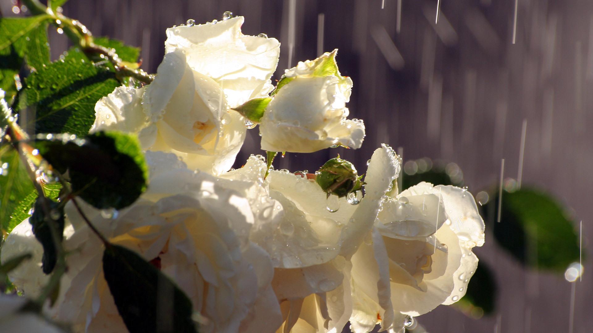 Грустные картинки с белыми розами