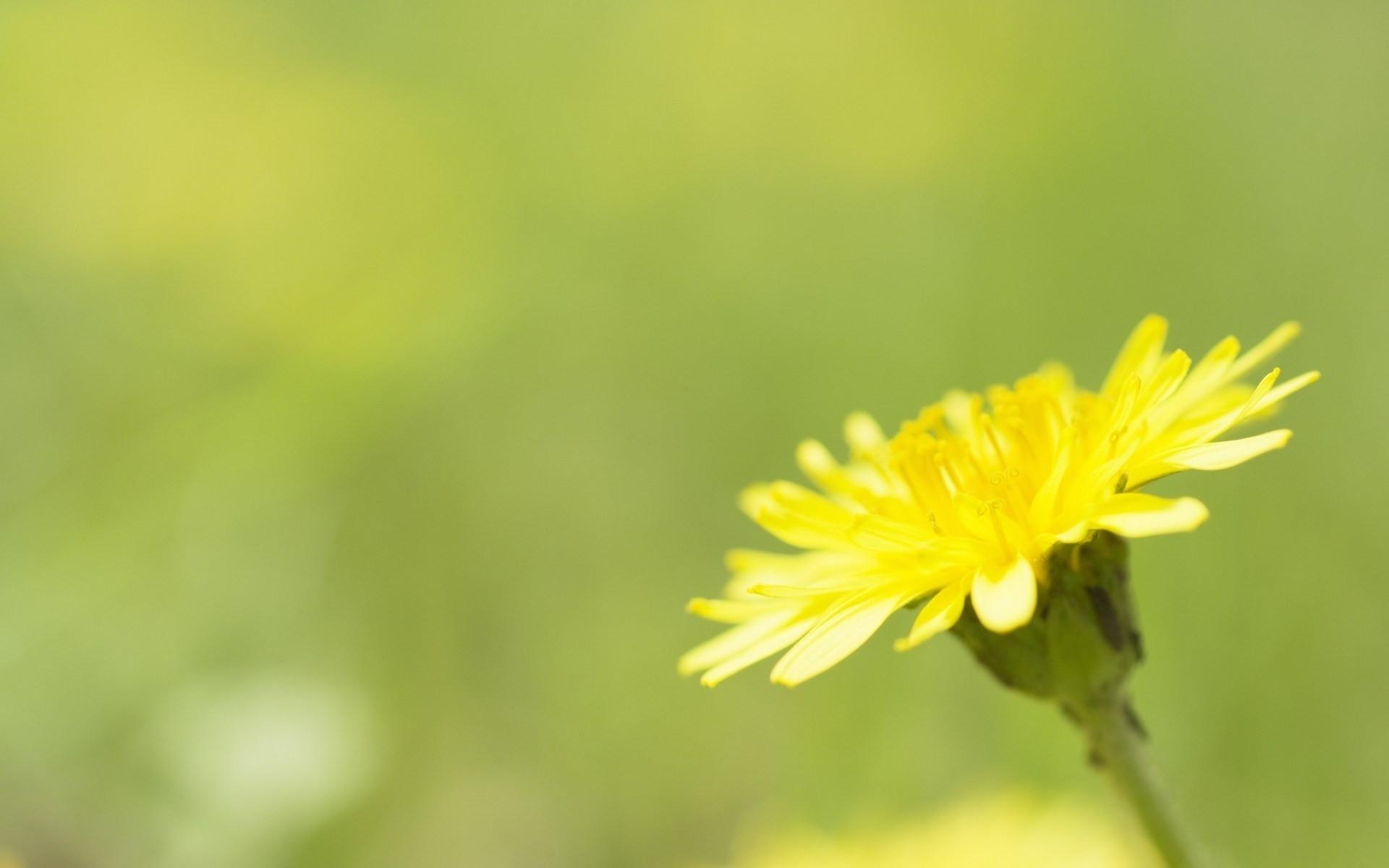 Yellow Dandelion Wallpaper Yellow Dandelion