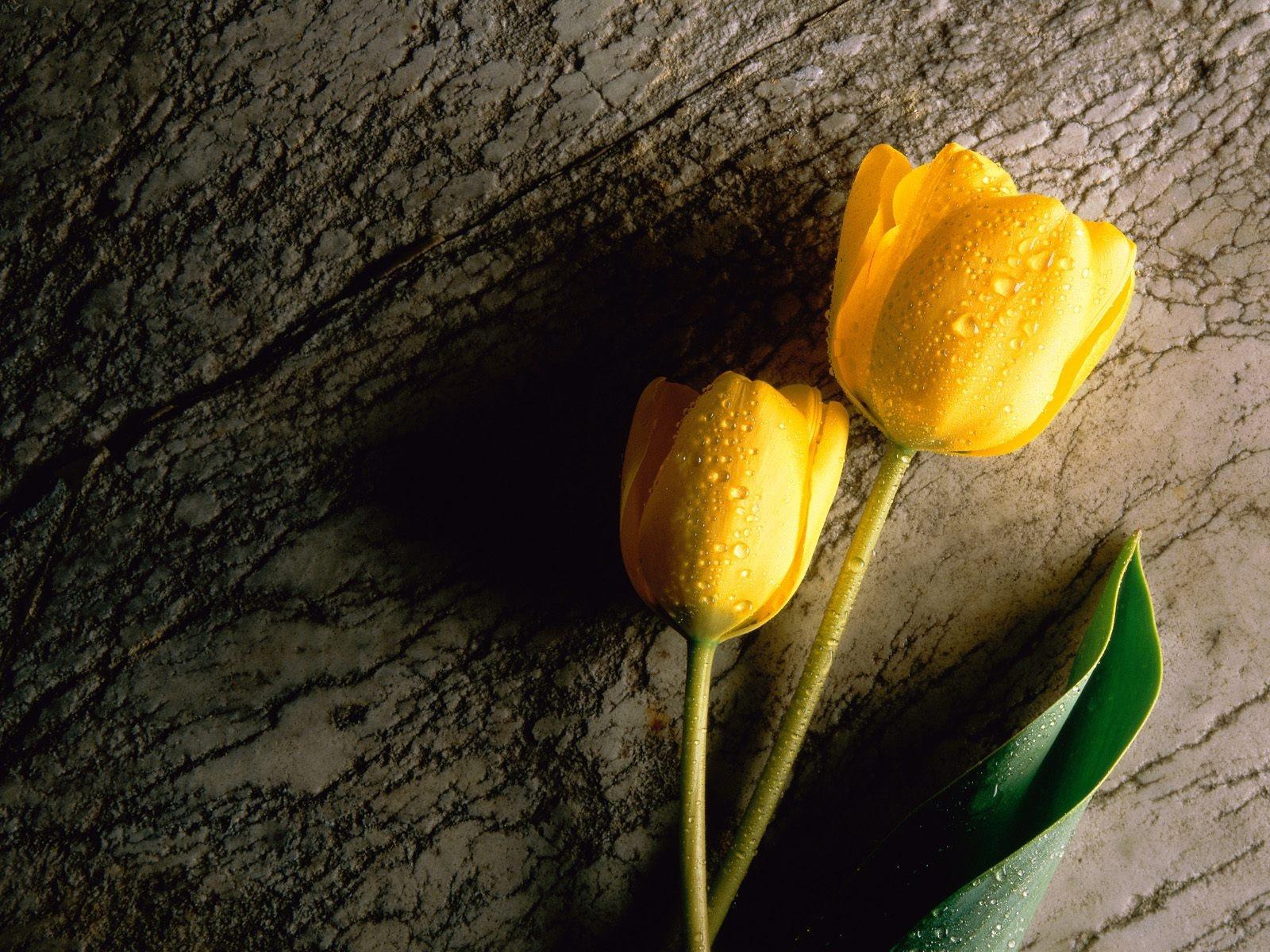 Желтые тюльпаны в картинках разлука