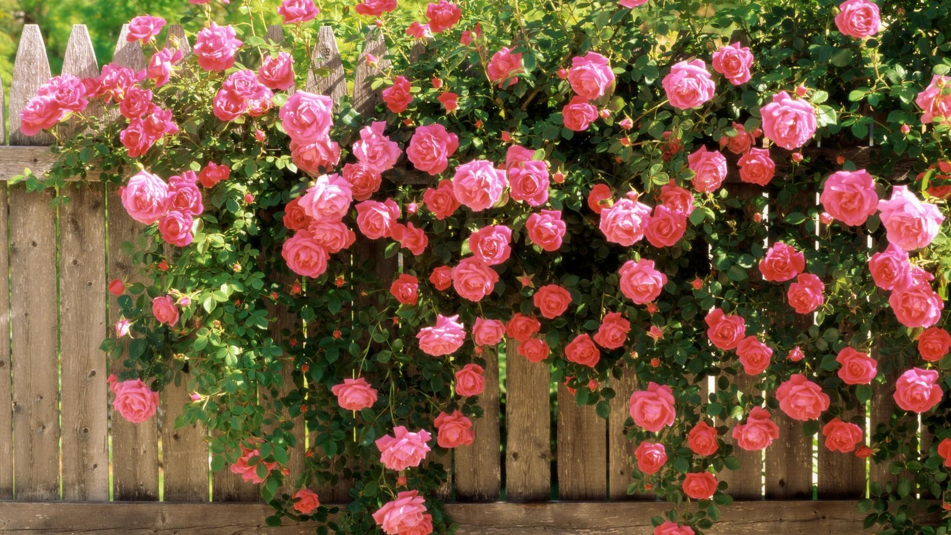 Плетущая роза цветущая все лето