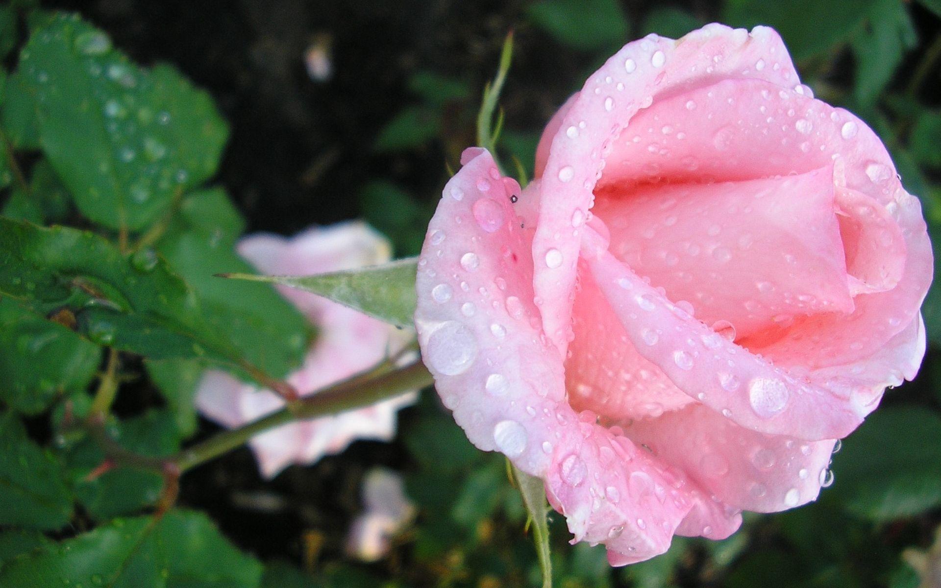 Открытка роза в росе