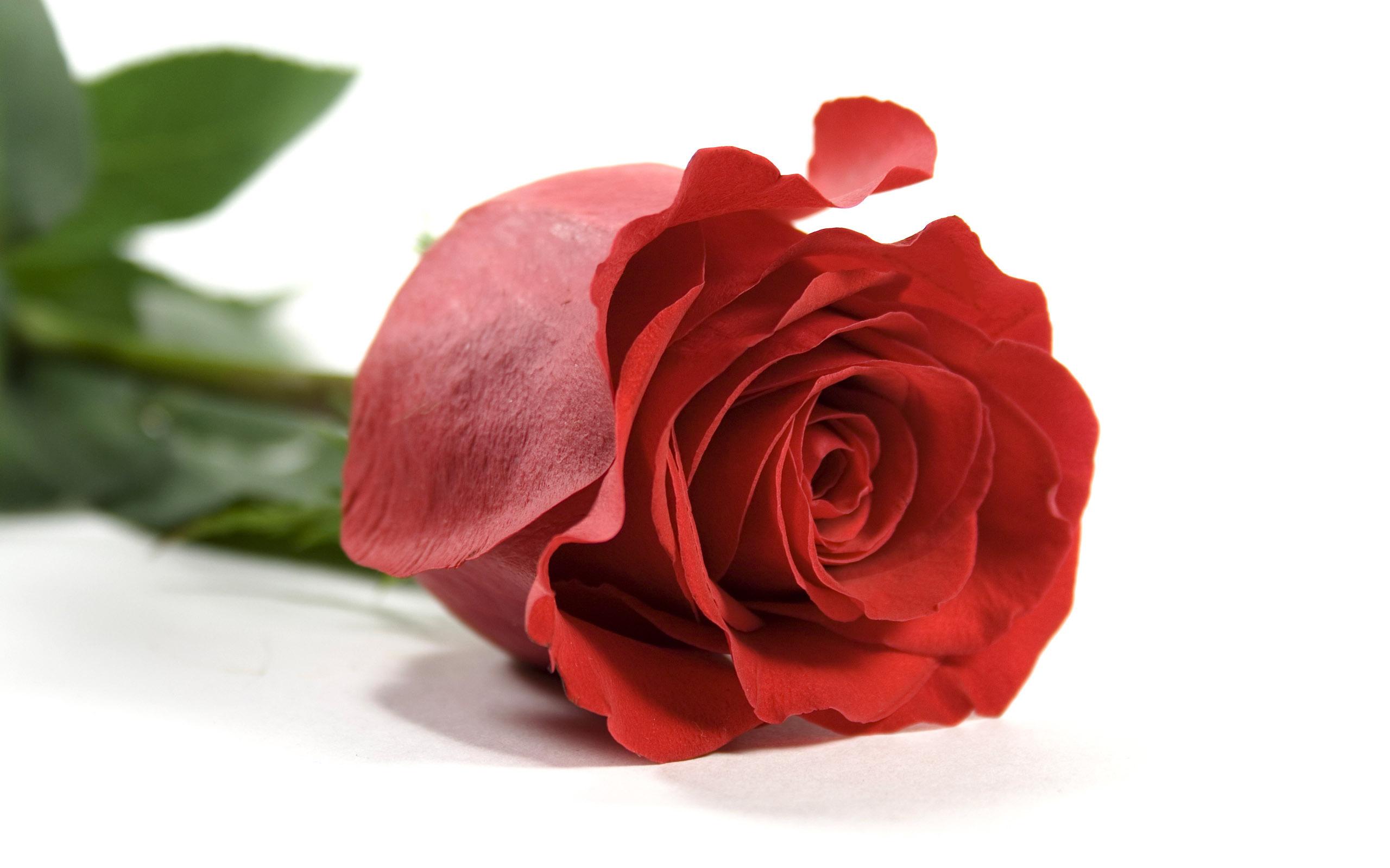 Красная роза на белом фоне  обои для рабочего стола