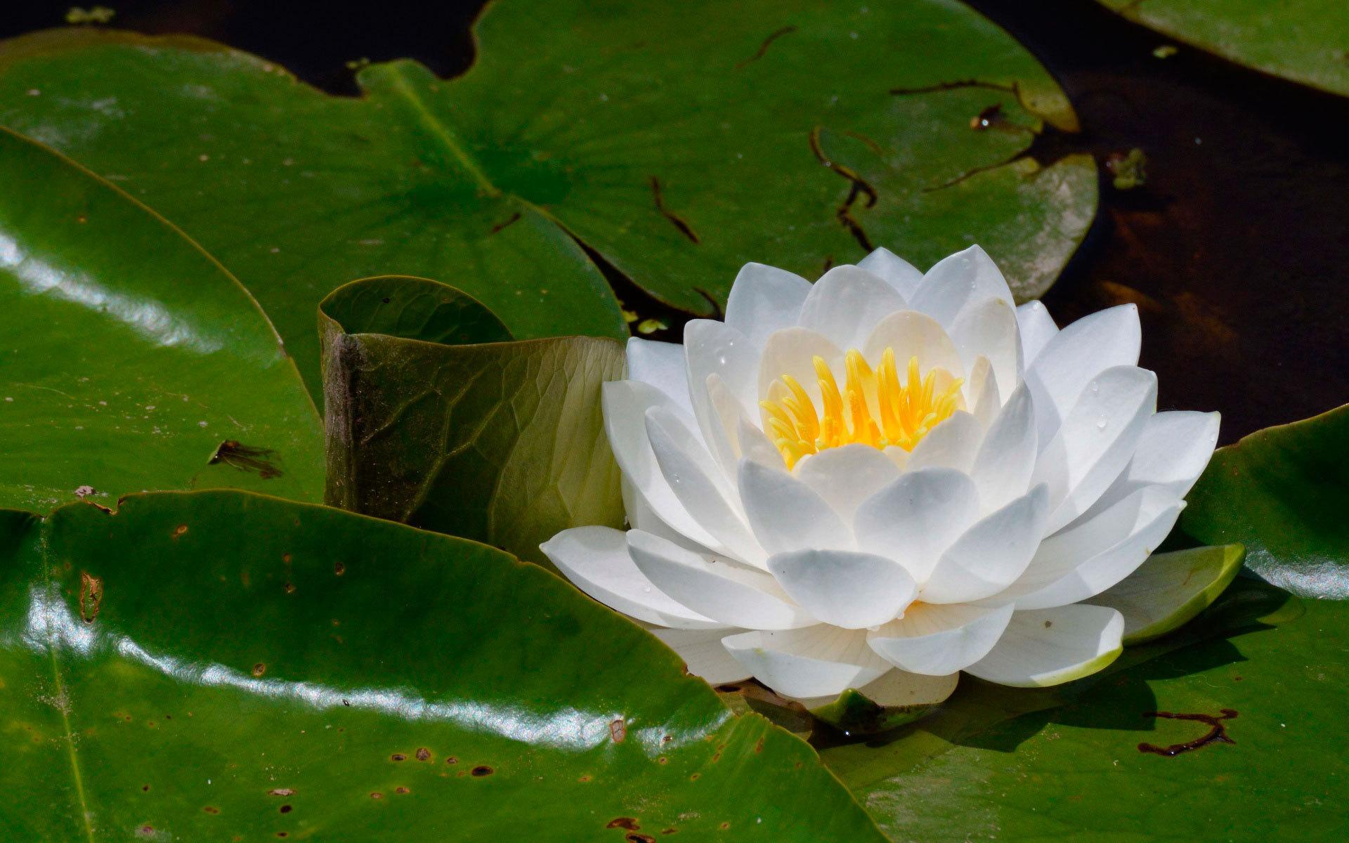 кувшинки фото цветка чаще всего