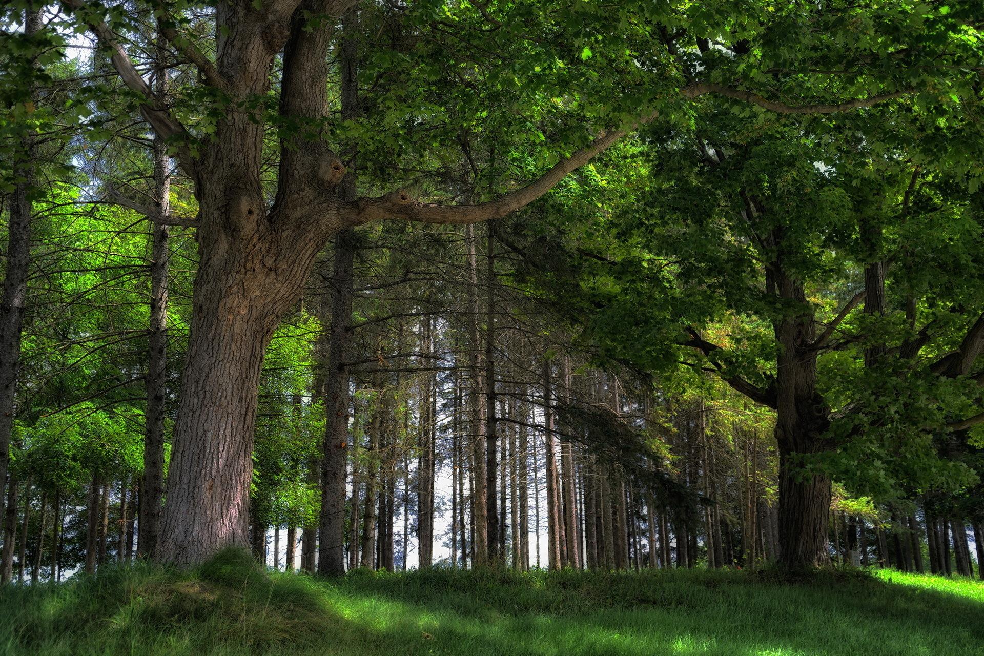 веря дубовый лес фото прямые занавески скрывают