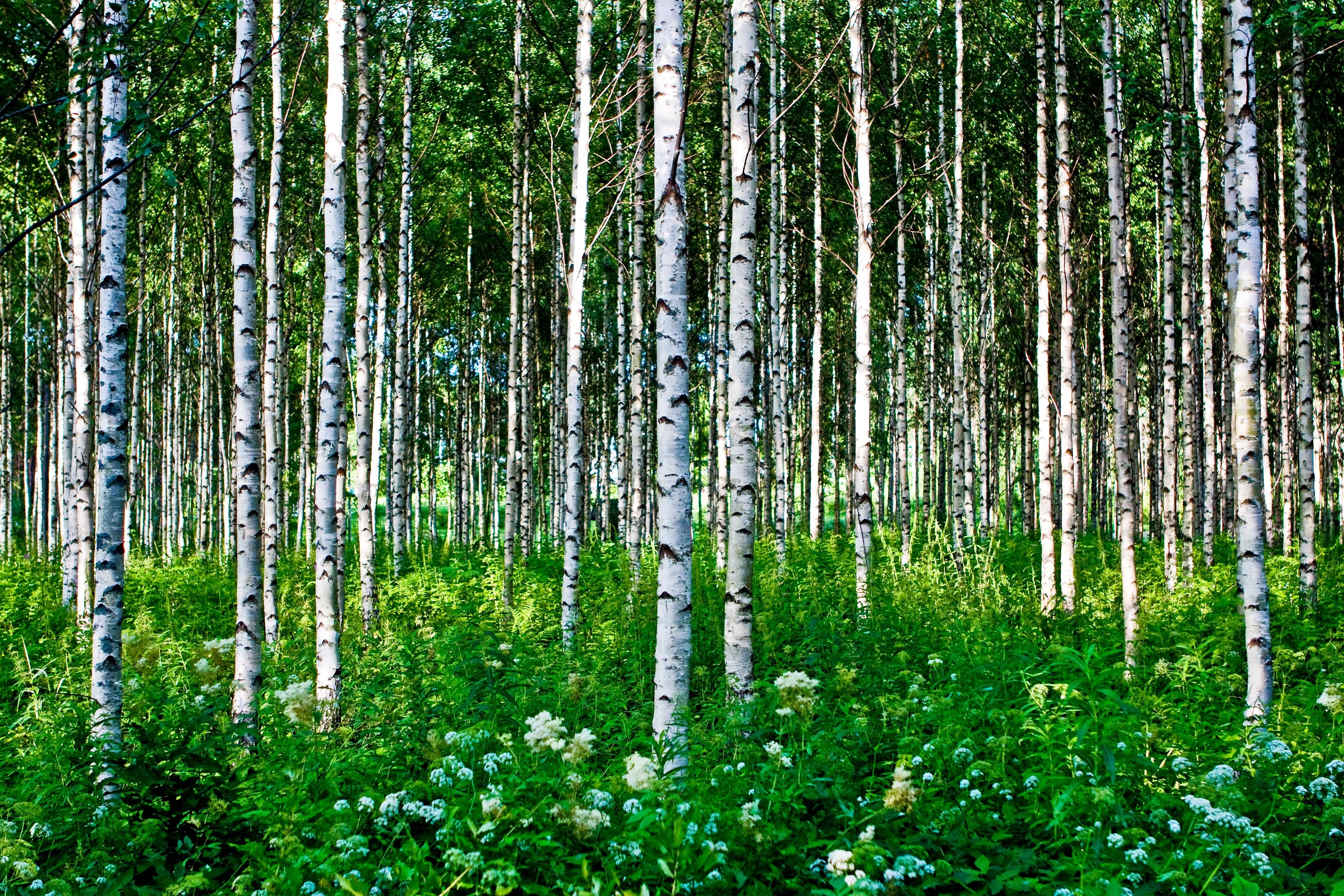 Обои лиственный лес березовая роща лиственные деревья