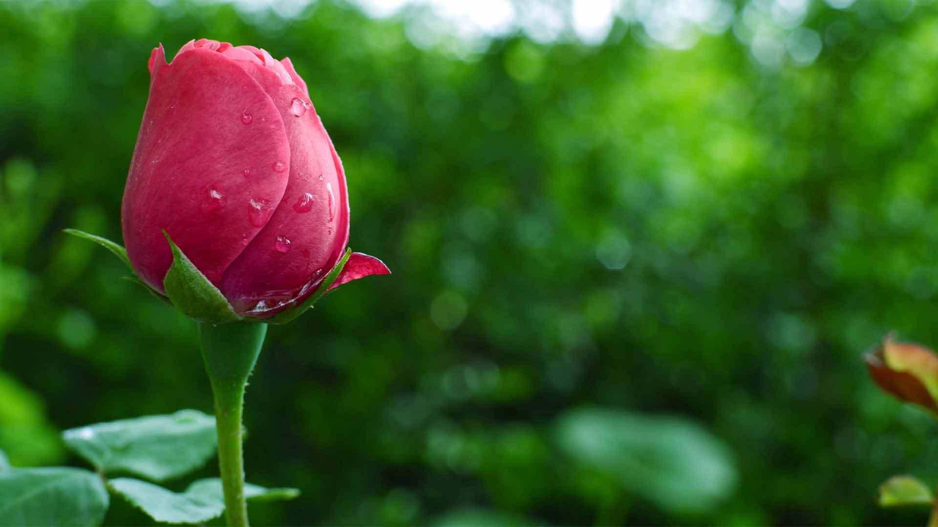 Картинки розы летом