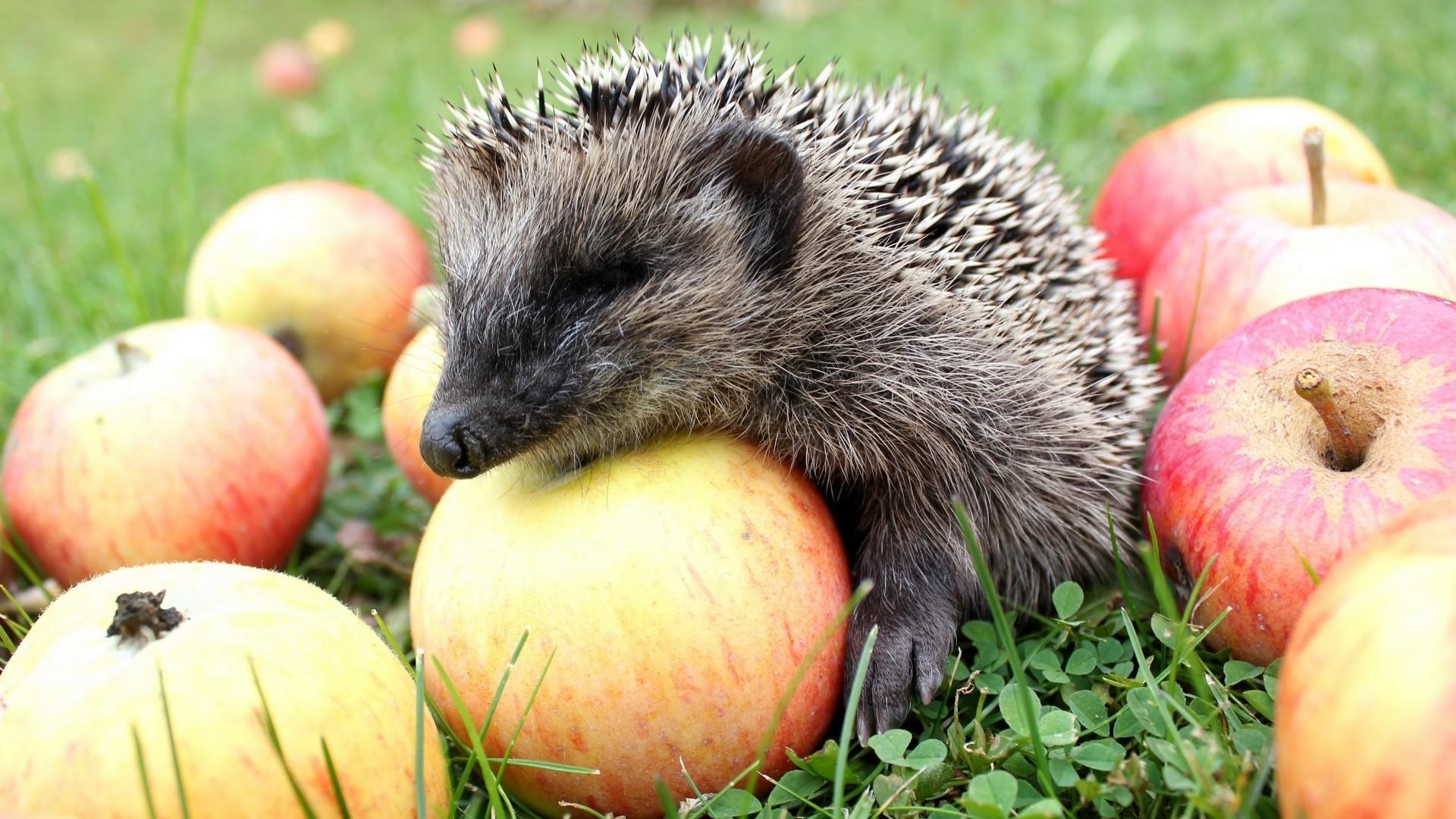 Animals_Hedgehog_sitting_on_apples_10574