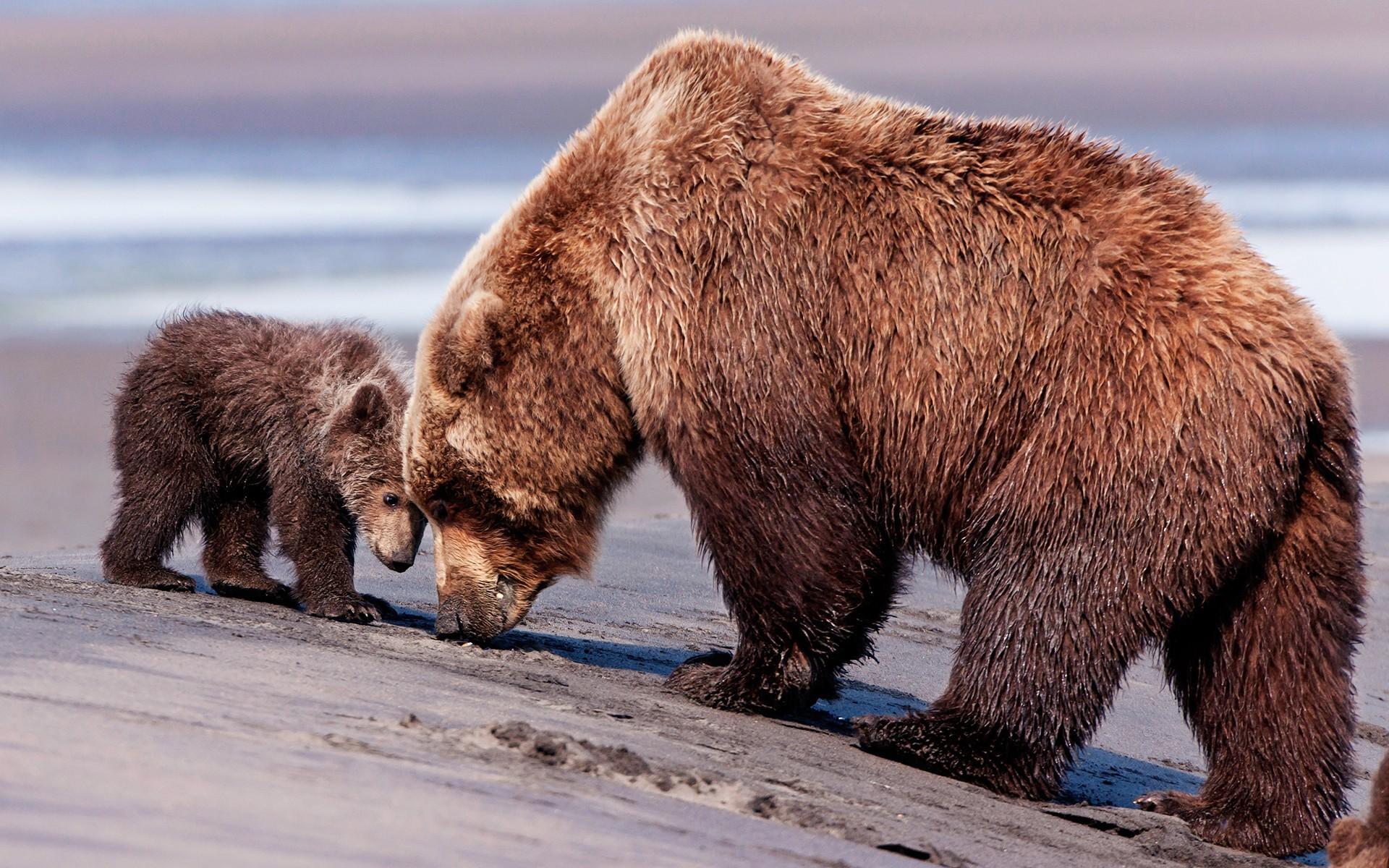 Attractive Bear Grass Wet Snout Download Hd Wallpaper Image