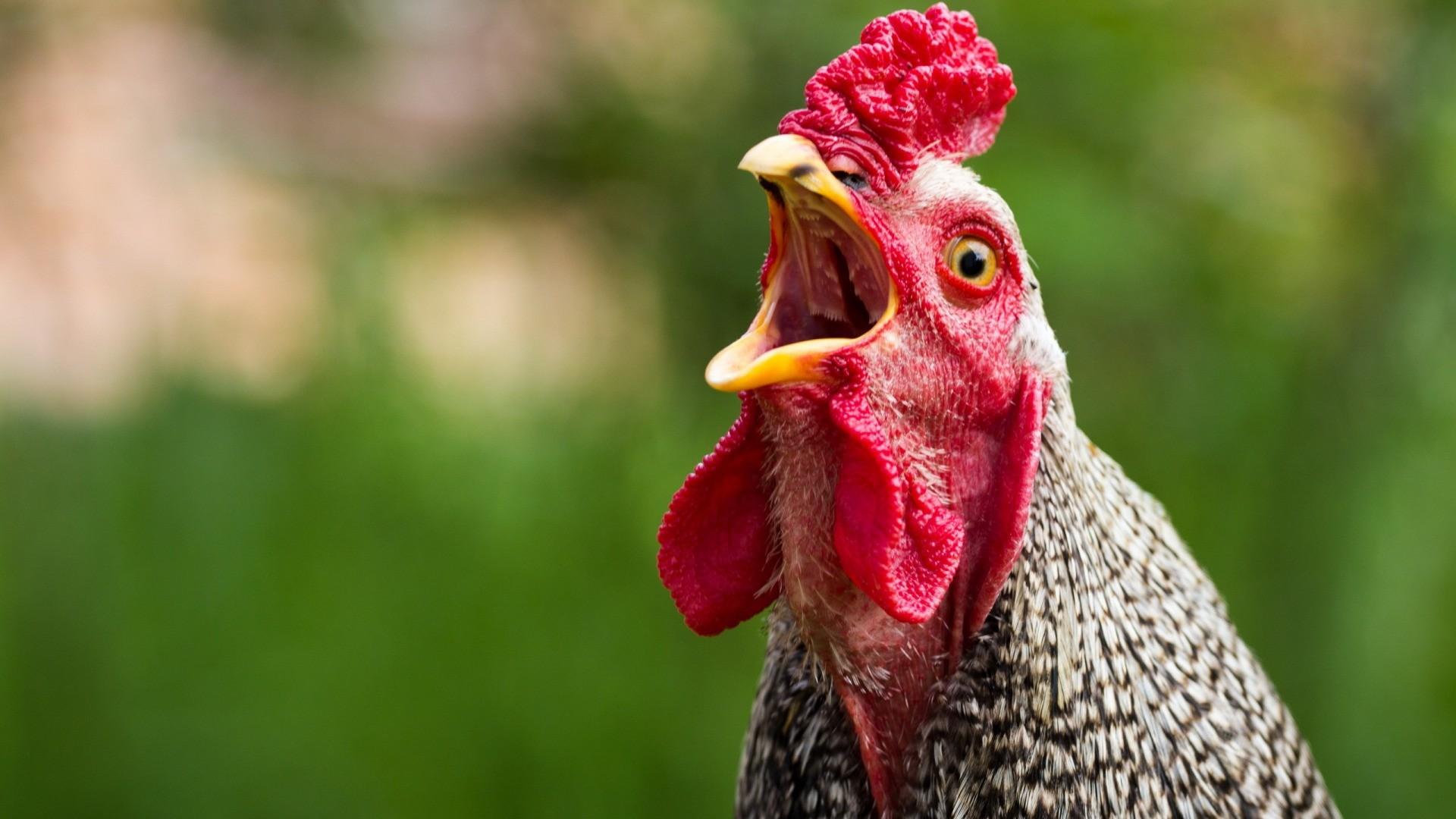 В результате чего у птицы созревает не одна, а сразу две яйцеклетки, которые вместе продолжают свой путь по яйцеводу и на выходе делаются двухжелтковым яйцом.