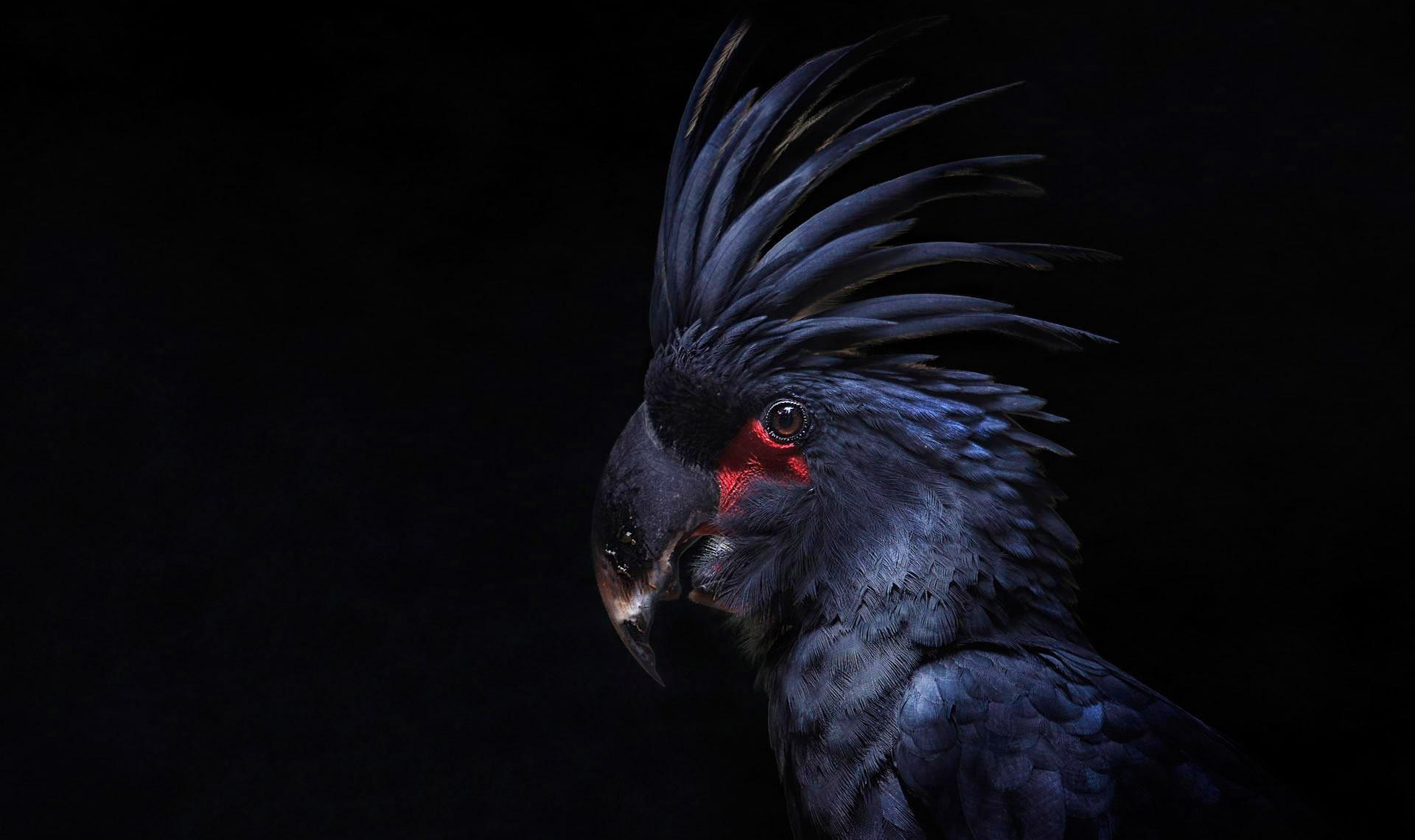 фото черный попугай