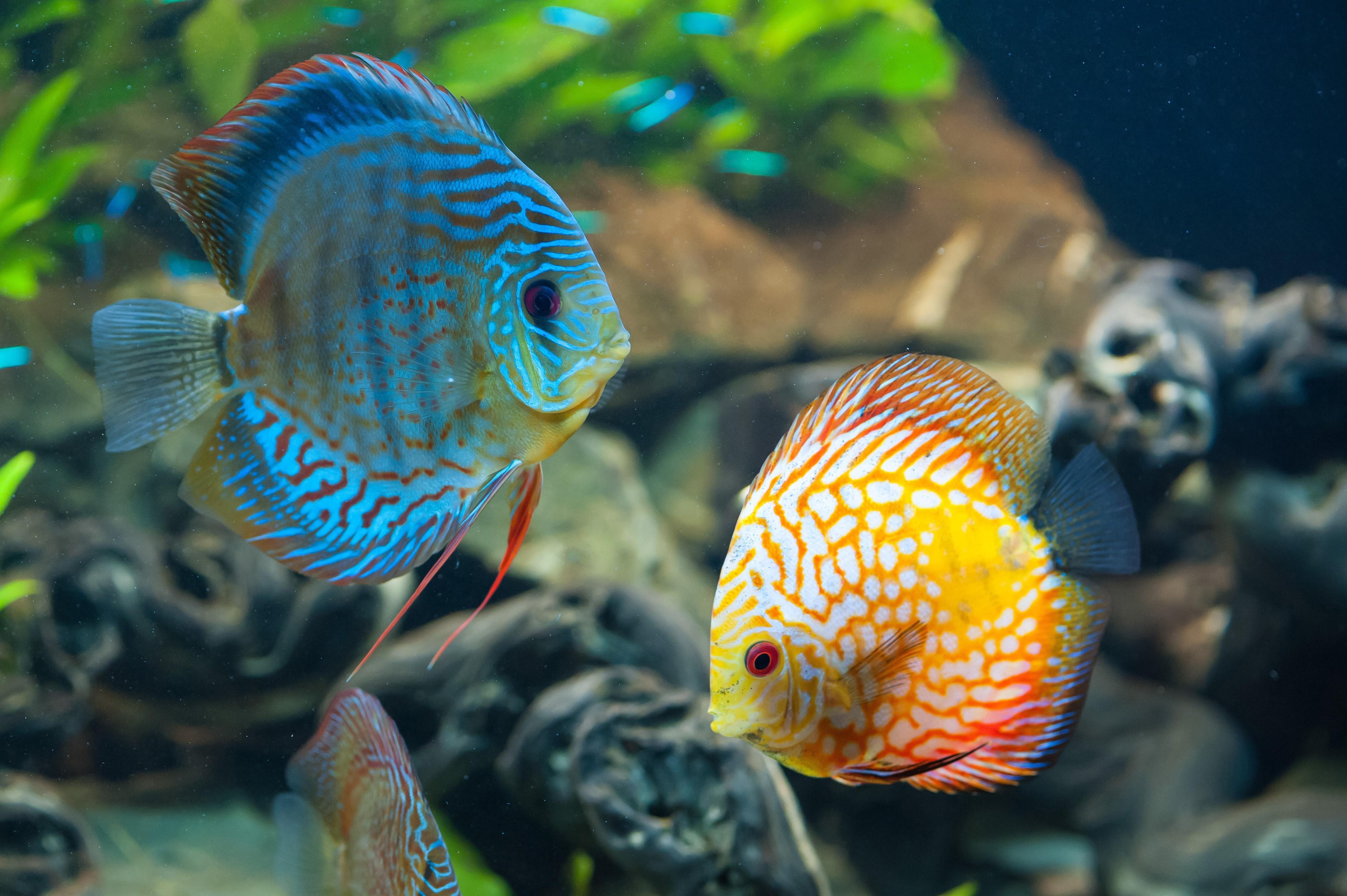 Fish aquarium white spots - Blue And Orange Fish With White Spots In The Aquarium