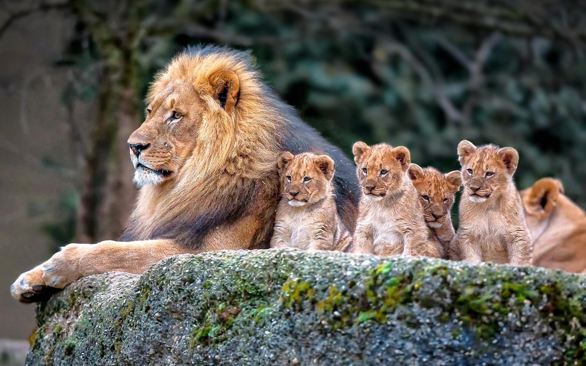 ЛЕВ СМЕЁТСЯ онлайн Animals___Wild_cats_Lion_guarding_her_brood_104086_