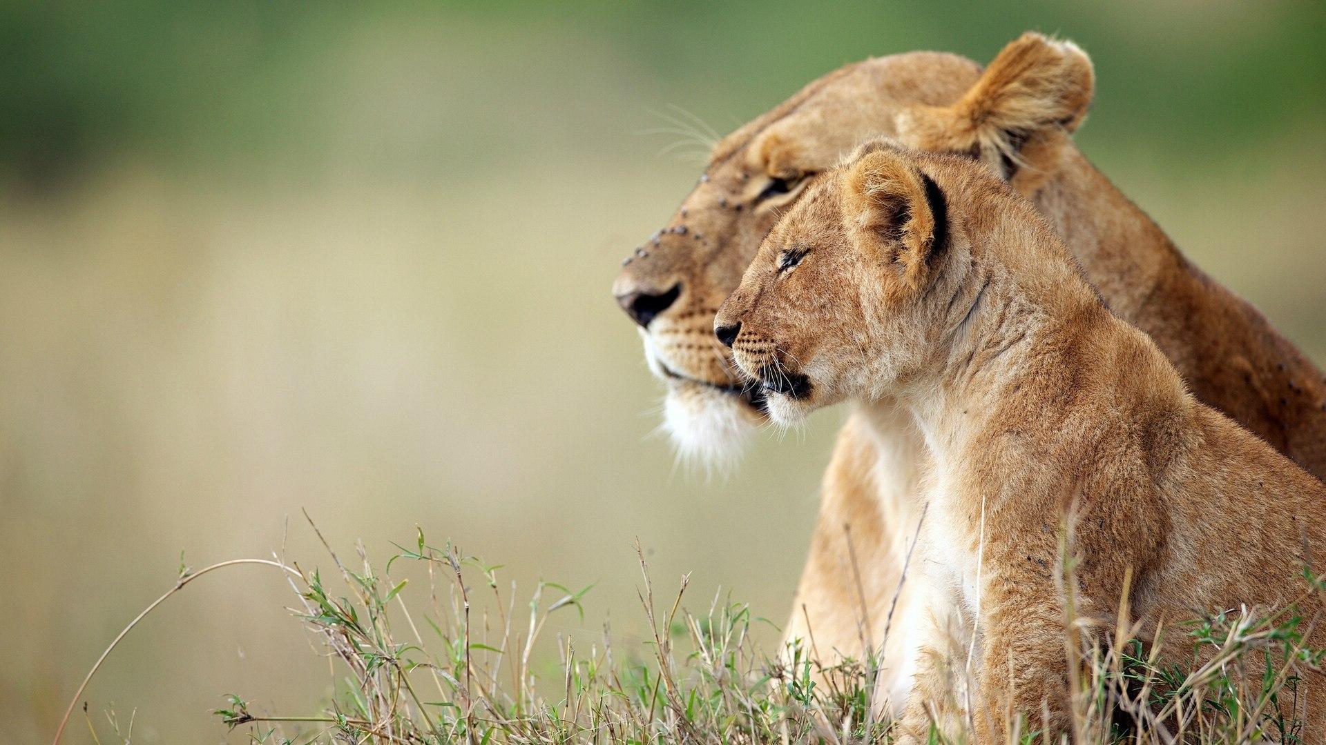 Обои на рабочий стол широкоформатные львы