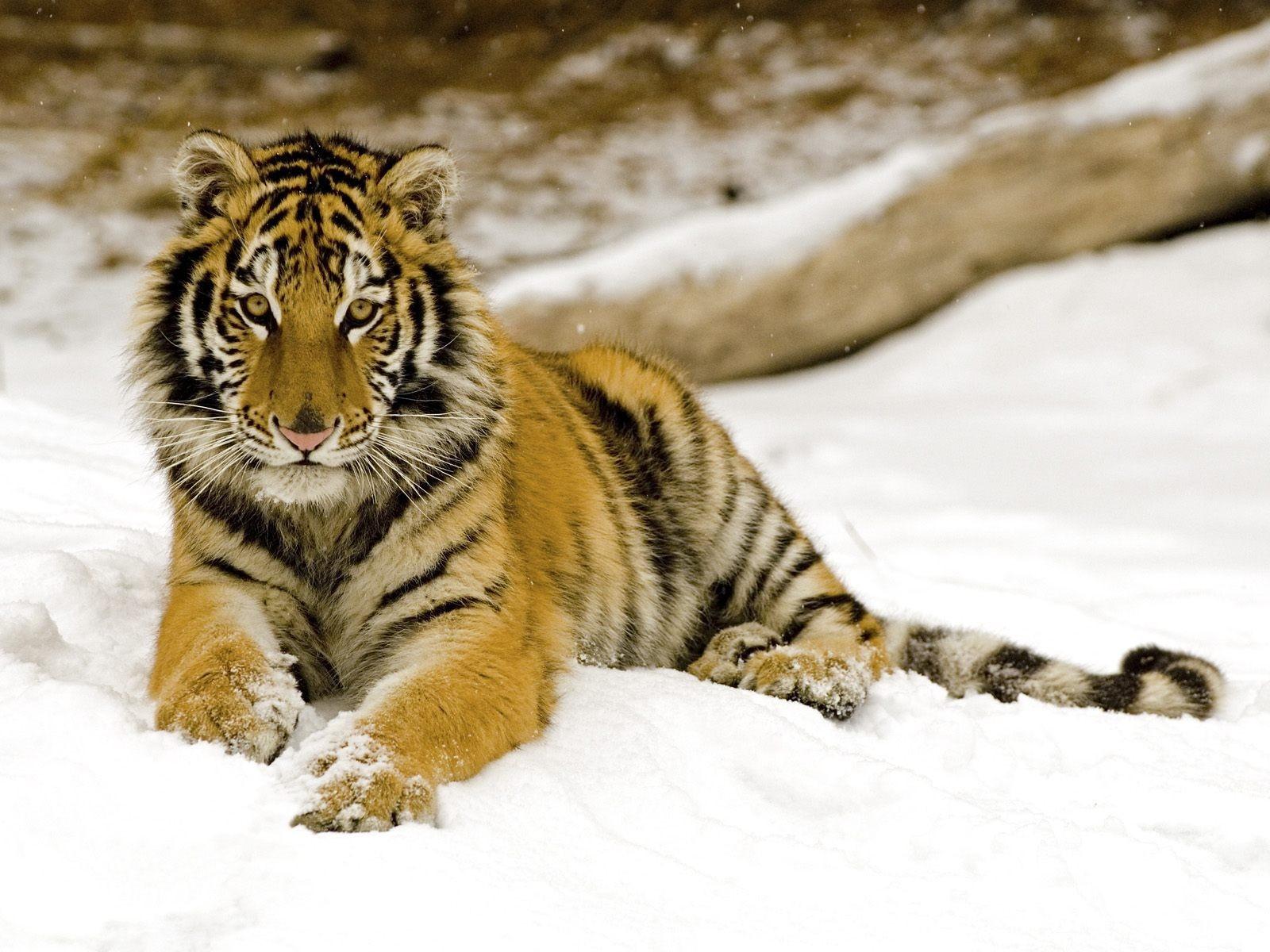 tiger wild snow - photo #41